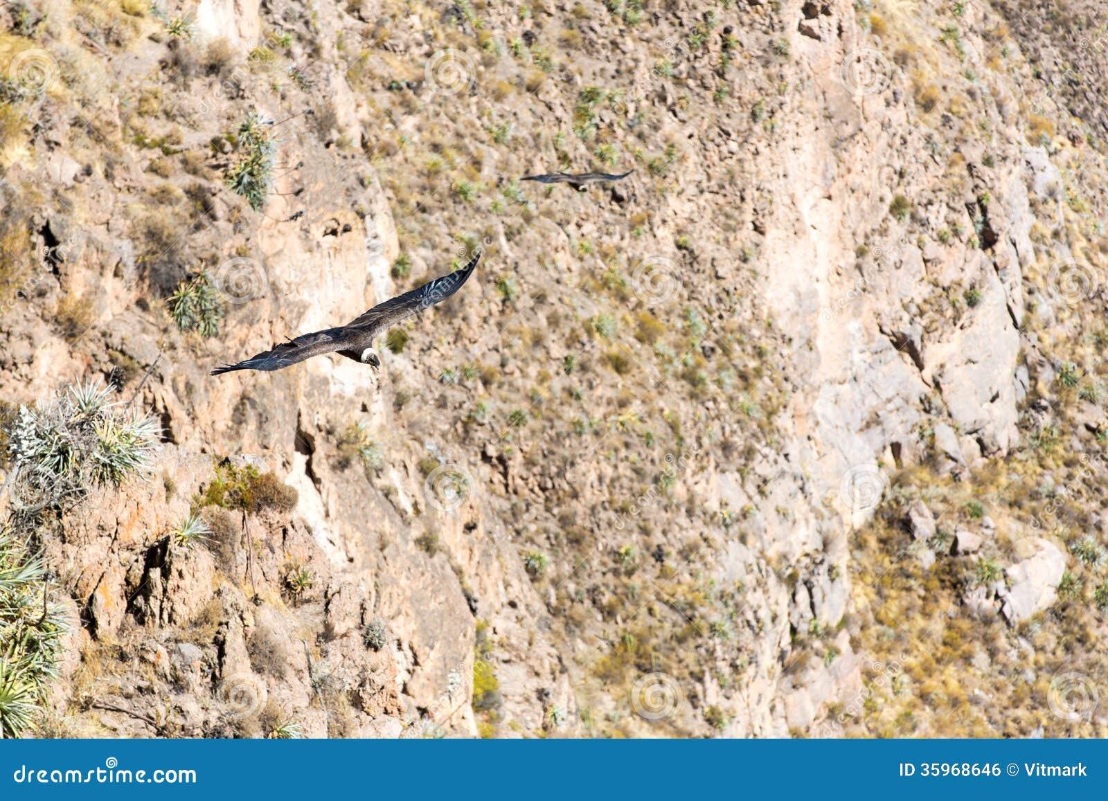 Vliegende condor over Colca-canion, Peru, Zuid-Amerika. Deze condor de grootste vliegende vogel