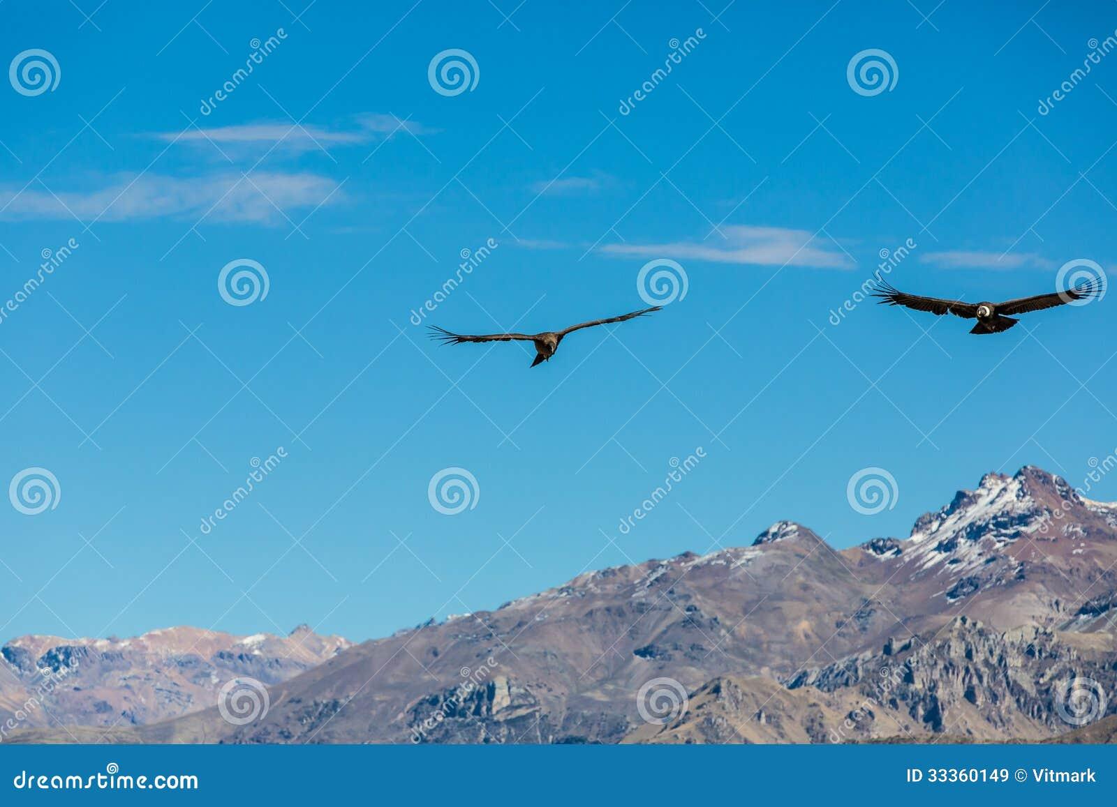 Vliegende condor over Colca-canion, Peru, Zuid-Amerika. Dit is condor de grootste vliegende vogel ter wereld
