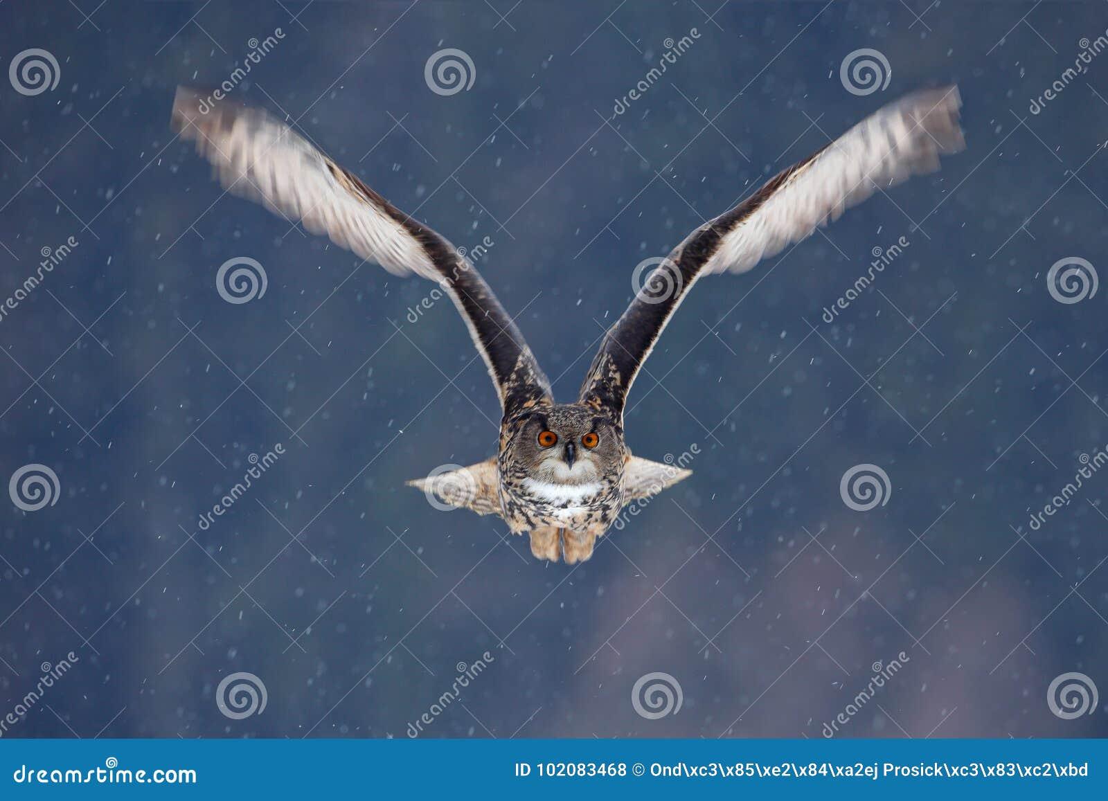 Vliegende Europees-Aziatische Eagle-uil met open vleugels met sneeuwvlok in sneeuwbos tijdens de koude winter De scène van het ac