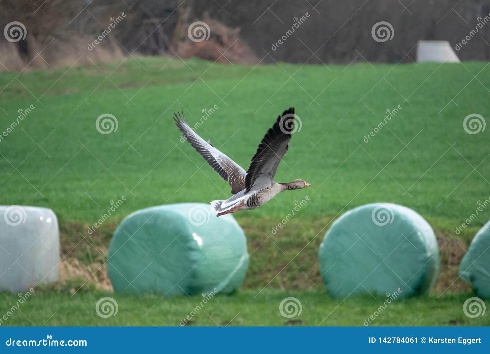 Vliegende grijze ganzen in de lente