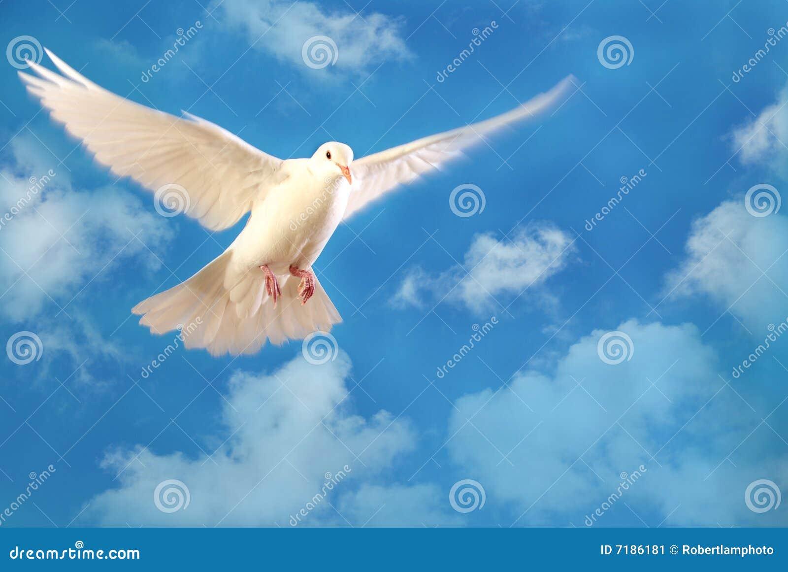Vliegende witte duif die op blauw wordt geïsoleerd