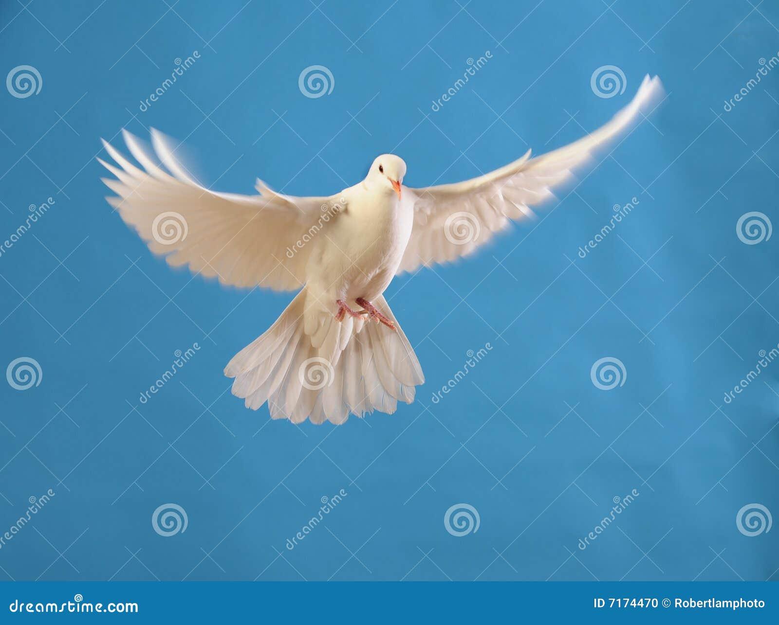 Vliegende witte duif die op blauw wordt geïsoleerdi