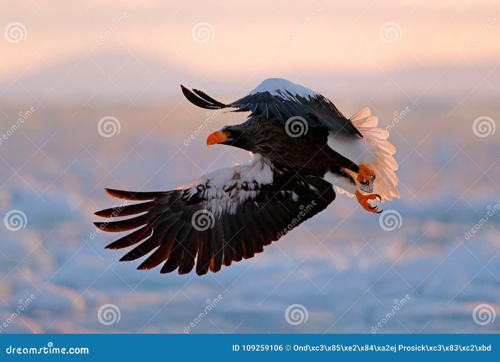 Vliegende zeldzame adelaar Stellerl` s overzeese adelaar, Haliaeetus-pelagicus, vliegende roofvogel, met blauwe hemel op achtergr