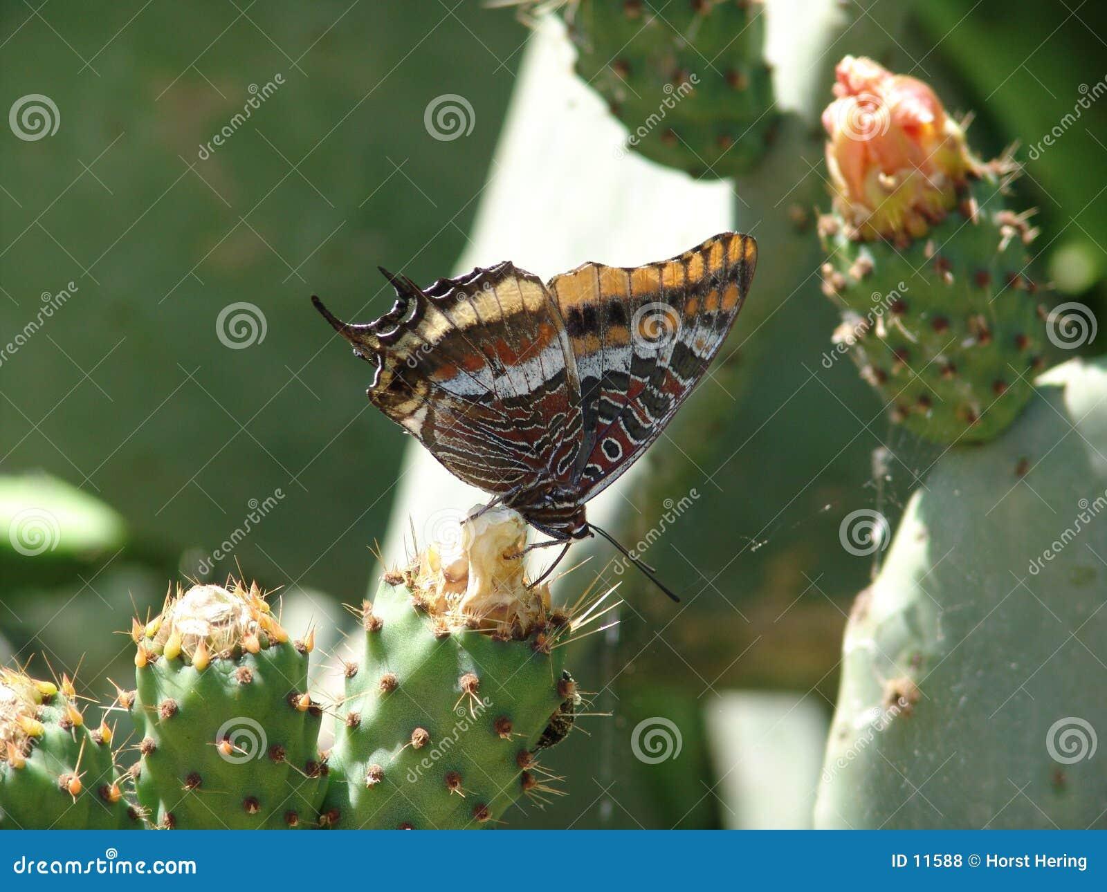 Vlinder & Cactus