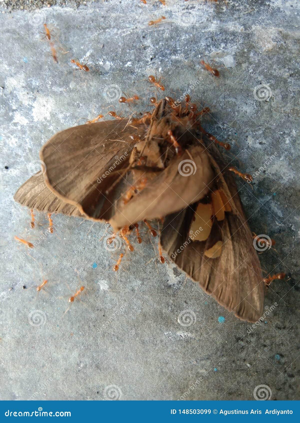 Vlinder door mier is binnengevallen die