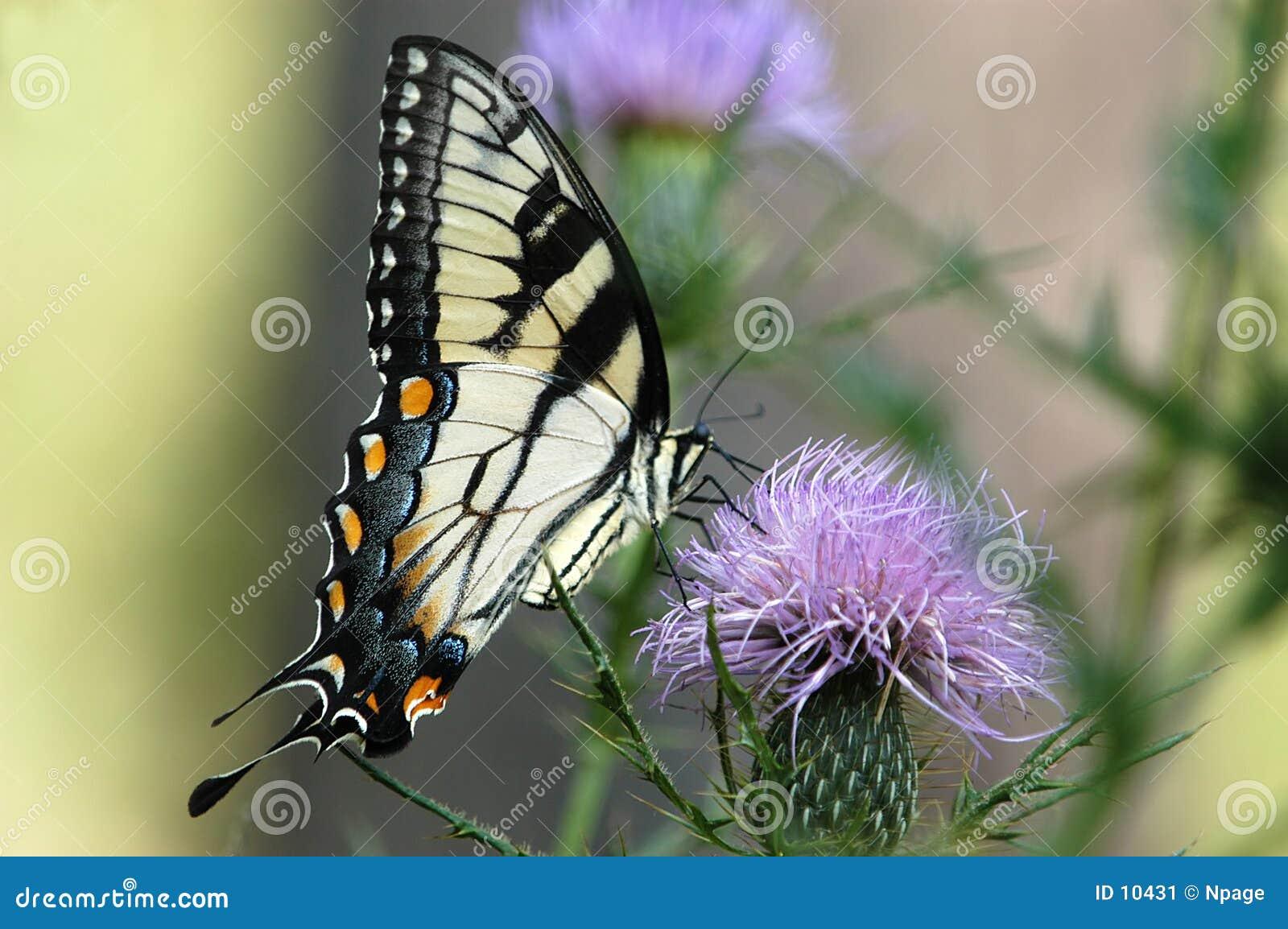 Vlinder No6