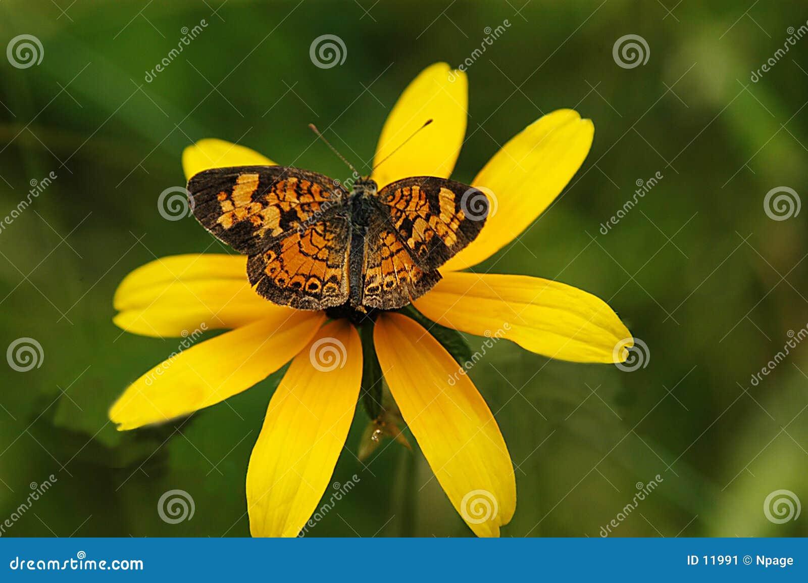 Vlinder No9