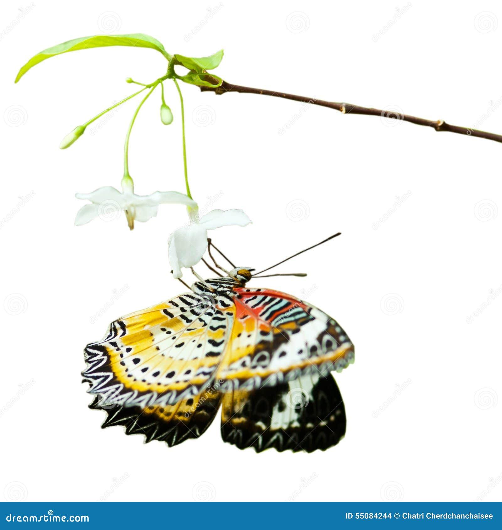 Vlinder op bloem op wit wordt geïsoleerd dat