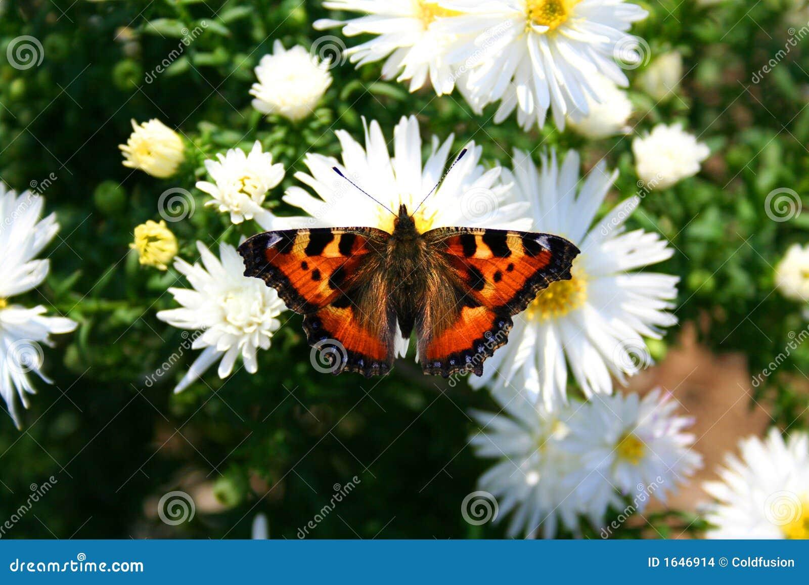 Vlinder op chrysanthemom - aardbeelden