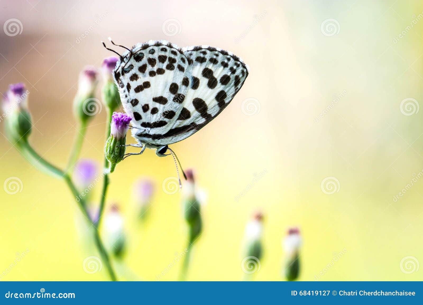 Vlinder op grasbloem (Gemeenschappelijke Pierrot)