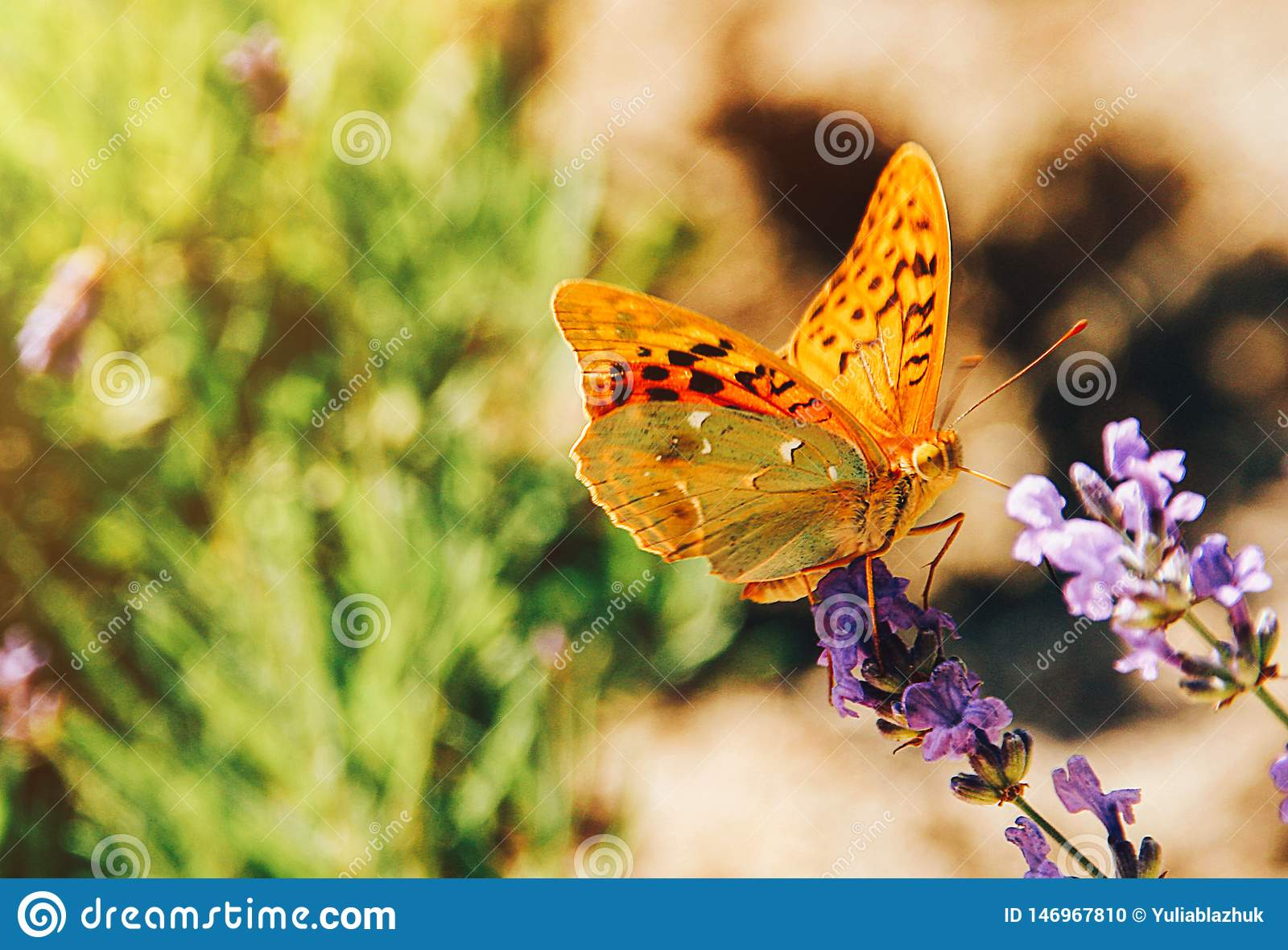 Vlinder op het zonnige de zomerbeeld van lavendelbloemen