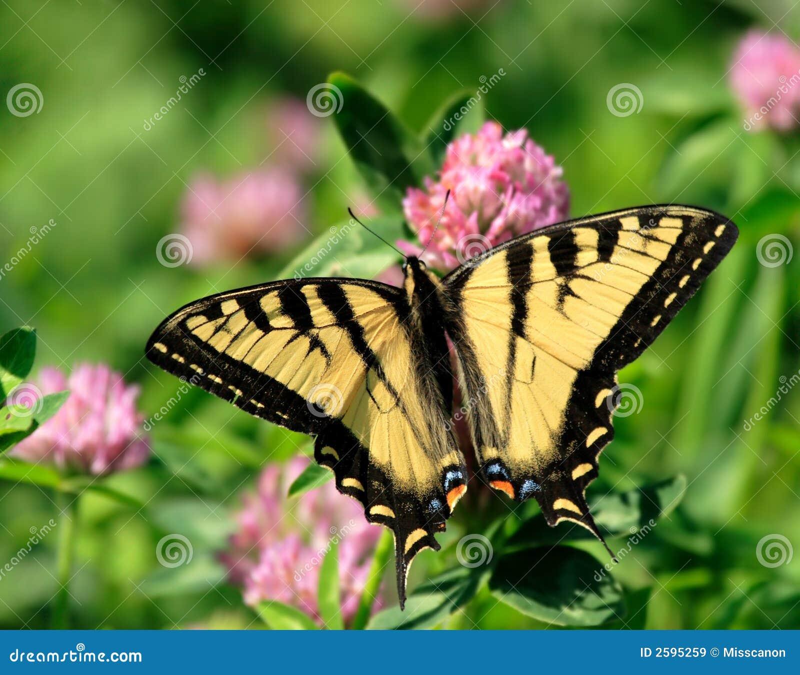 Vlinder op klaverbloem