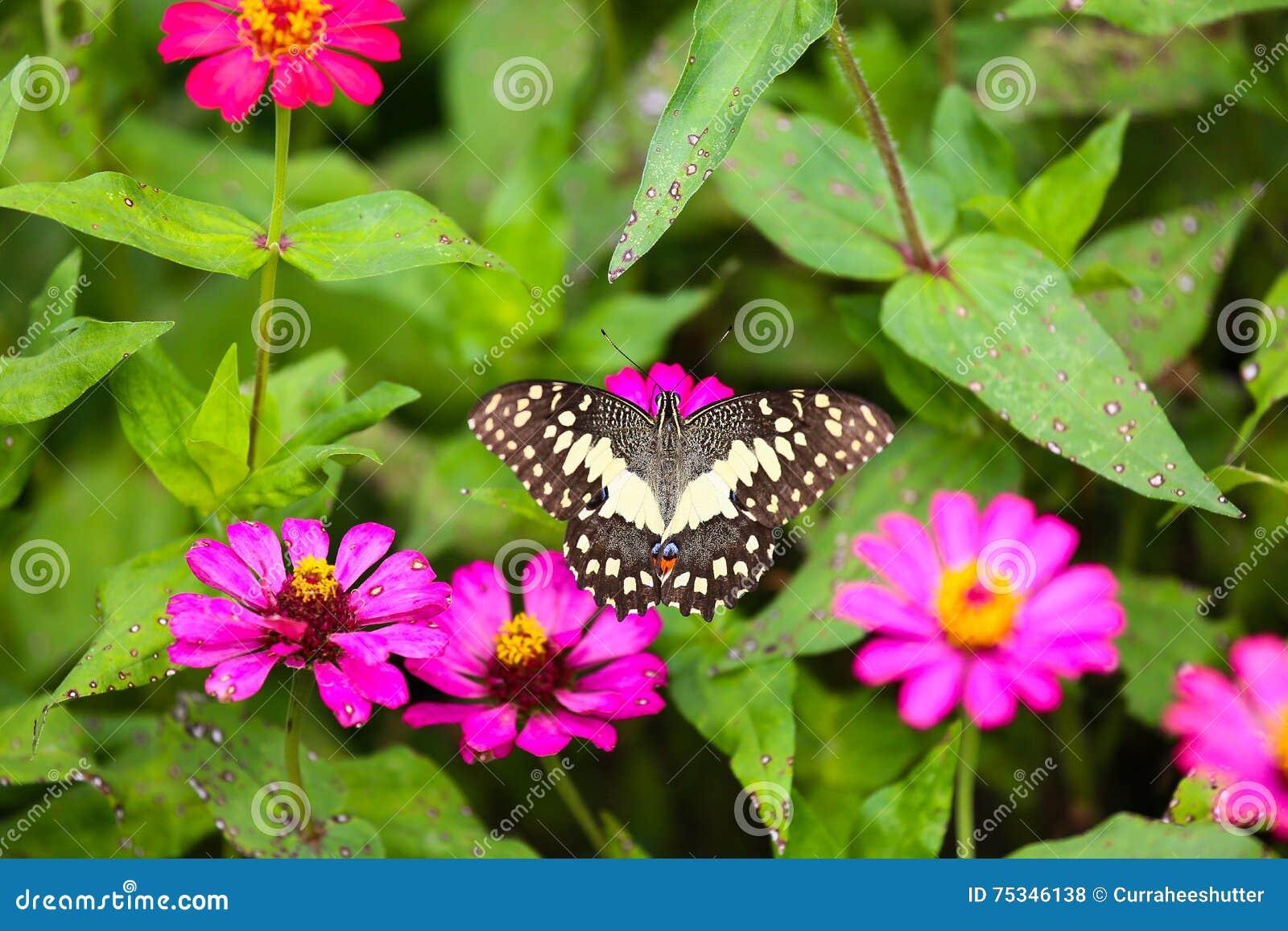 Vlinder in tuin en het vliegen aan vele bloemen in tuin for Vliegen in de tuin