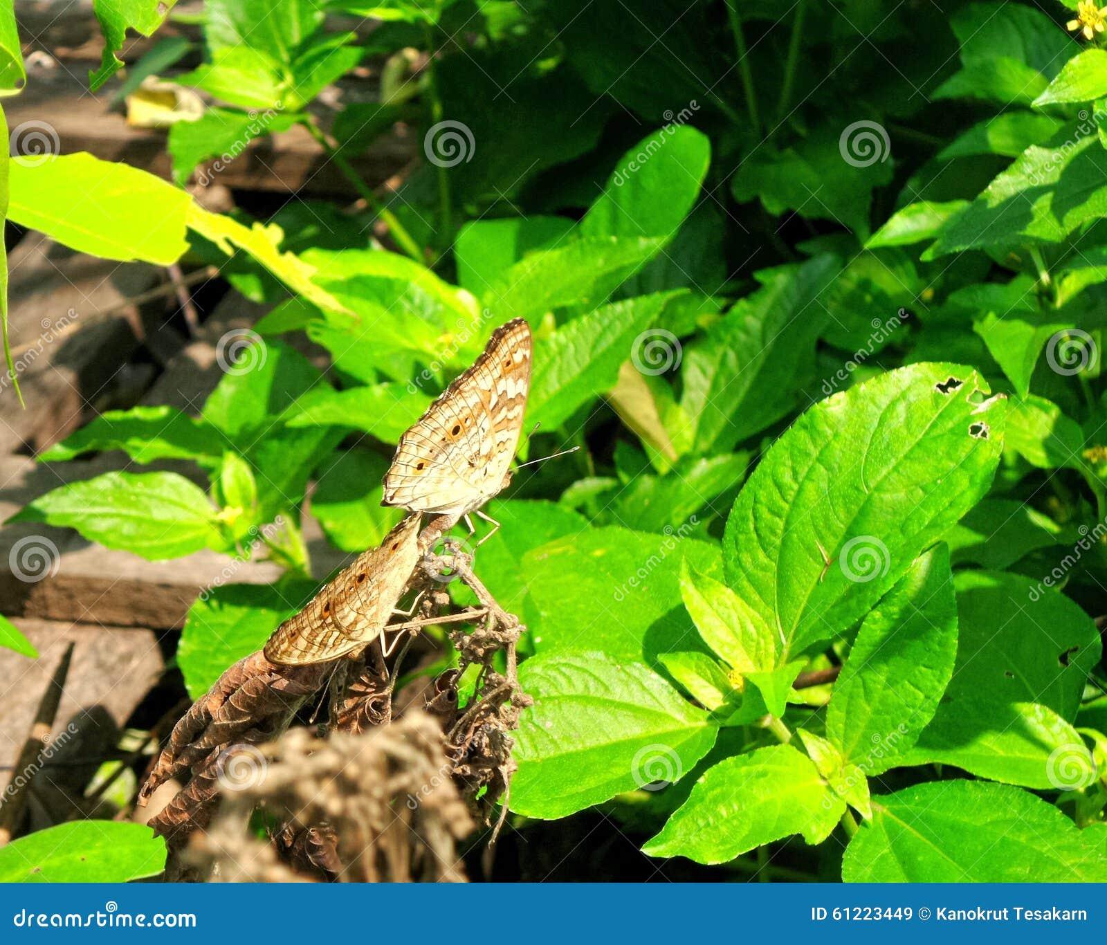 Vlinder twee op droge bladeren onder zonlicht in groene tuin stock afbeelding afbeelding 61223449 - Foto droge tuin ...