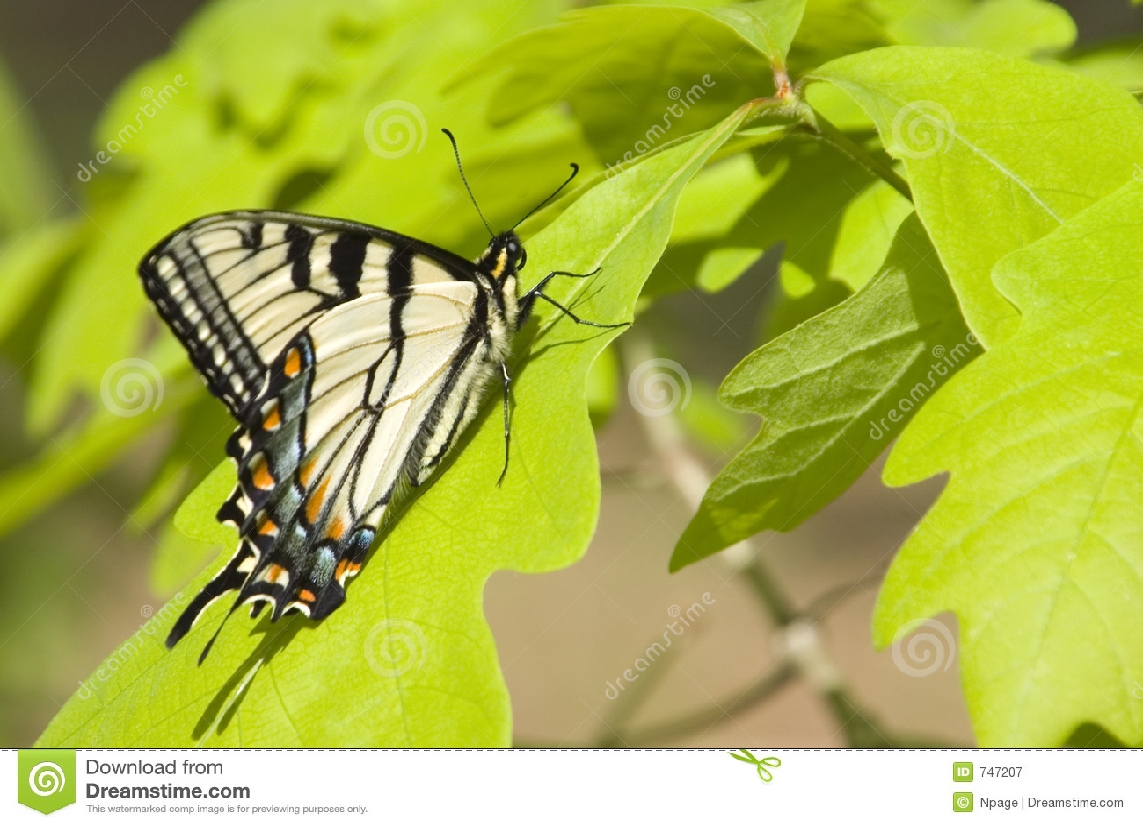Vlinder VIII
