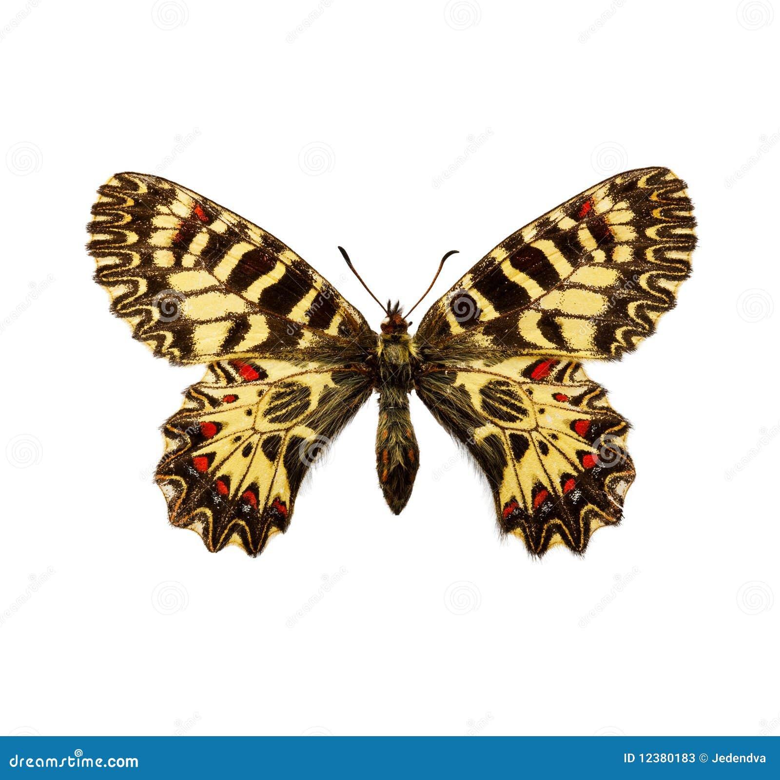 Vlinder - Zuidelijke Slinger