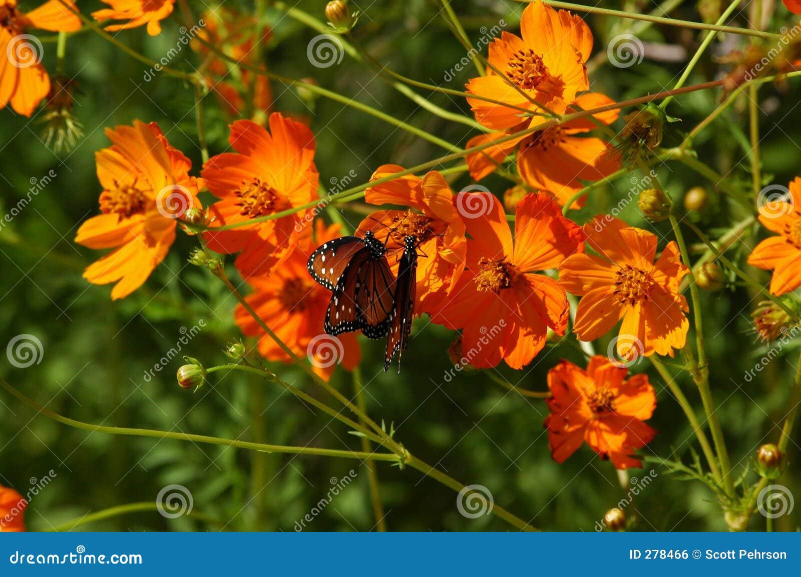 Vlinders en Papavers