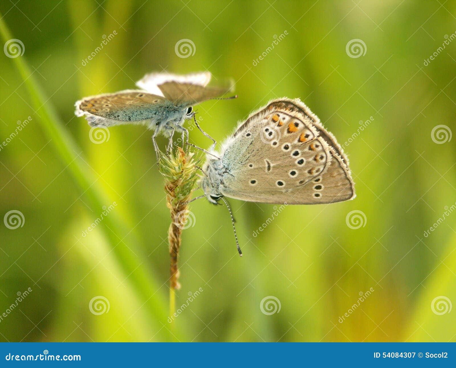 Vlinders op gras het in paren rangschikken het streven naar