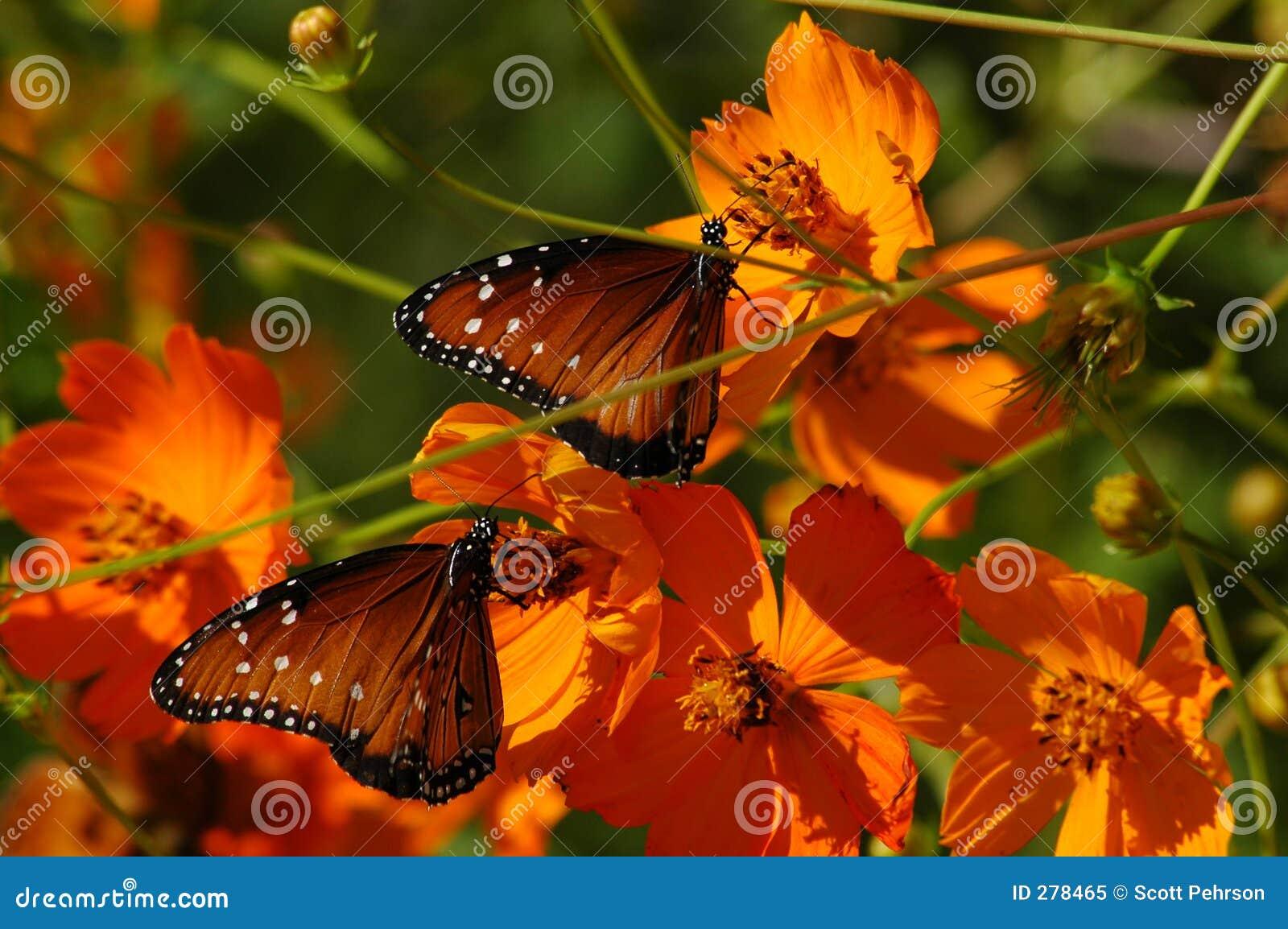 Vlinders op Papavers