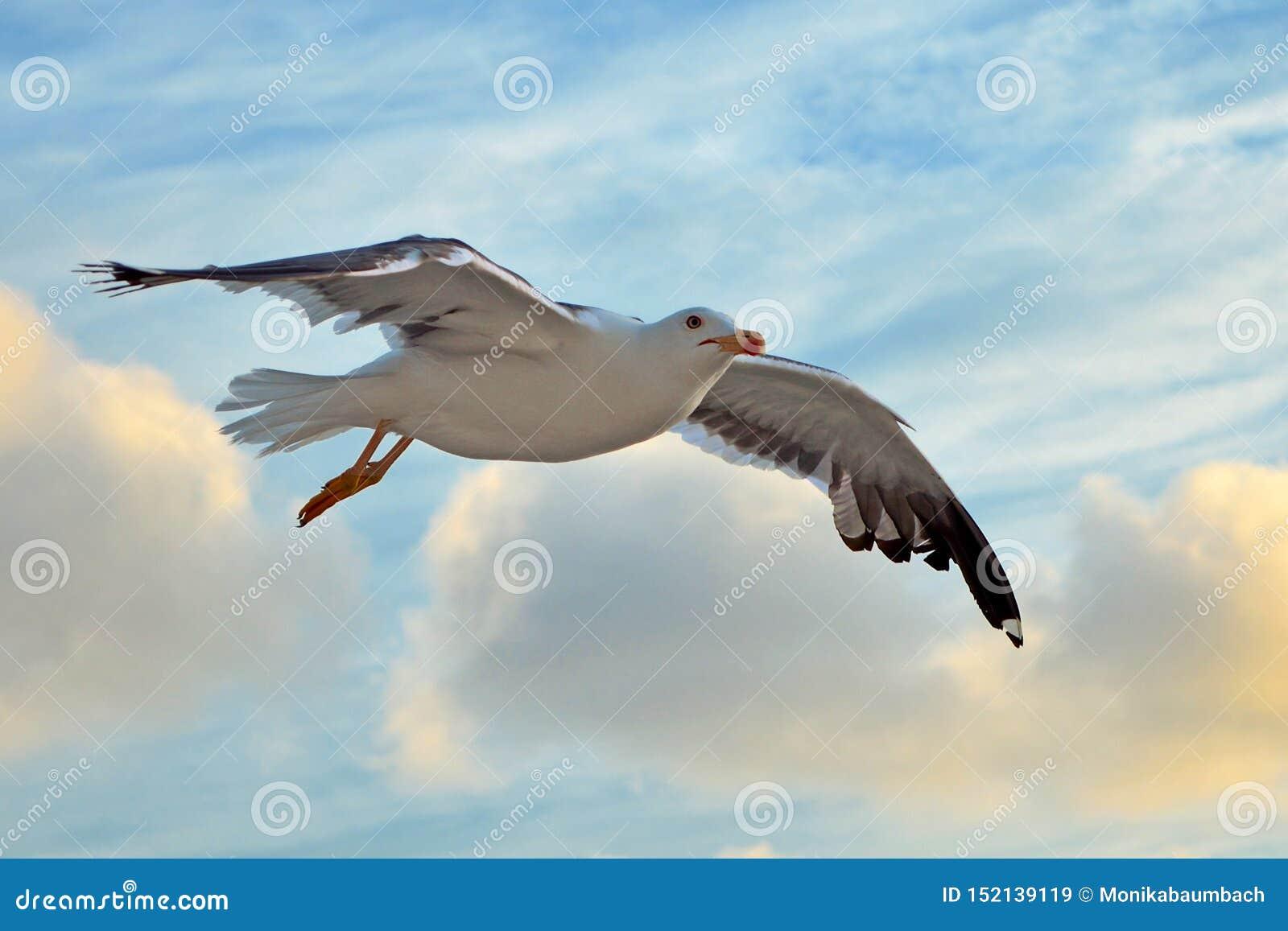 Voando pouca gaivota de mar suportada preta com as asas abertas durante o voo na frente do céu azul com nuvens