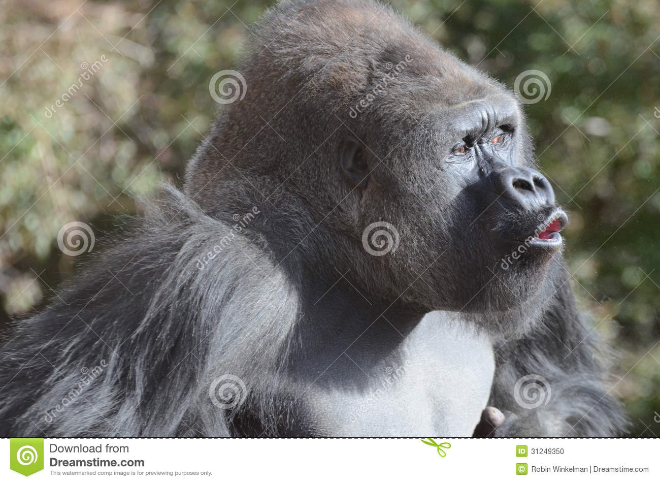 Stock Photo Vocalizing Gorilla Male Silver Back Displays Chest Beats V...