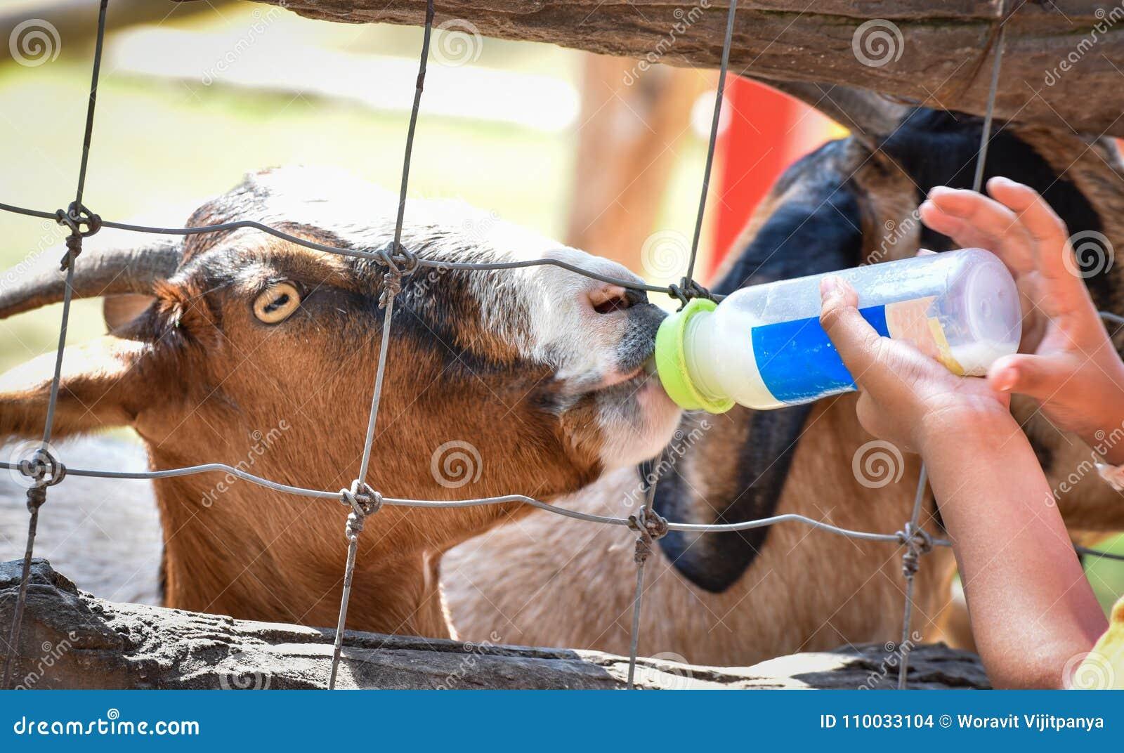 Voedend melk een geit