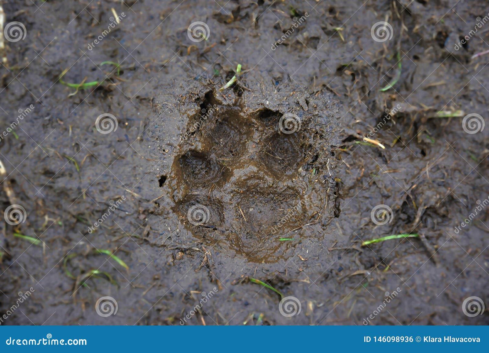 Voetafdruk van een hond in de modder