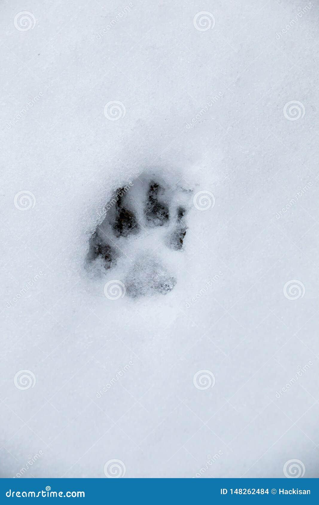 Voetdruk van een hond of een wolf op de witte sneeuw