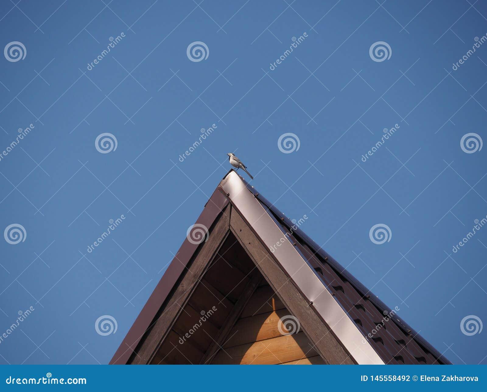 Vogel-Bachstelze auf der Kante des Dachs des Hauses im blauen Himmel