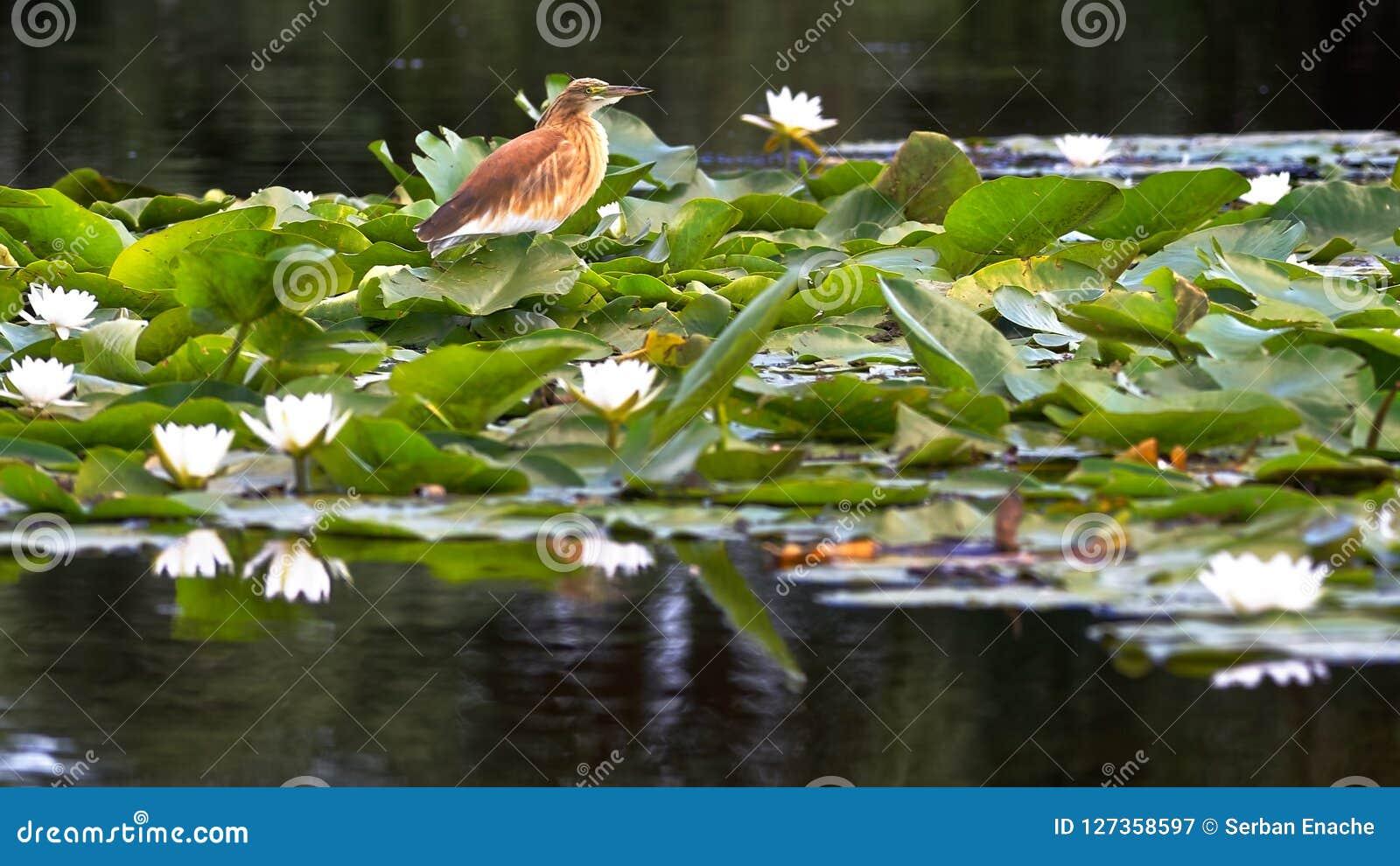 Vogel en waterlelies