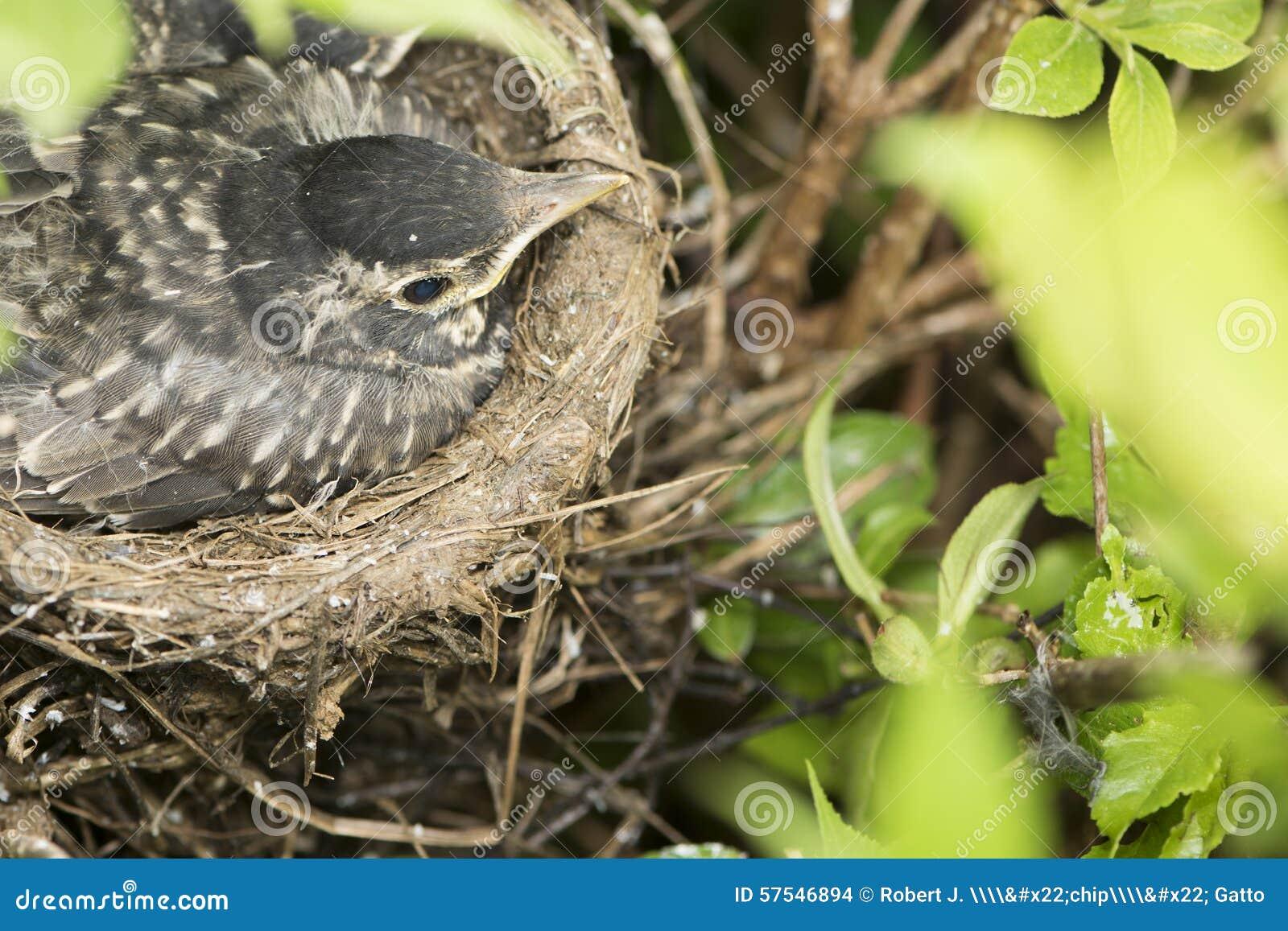 vogel im nest stockfoto bild von sch tzchen flockig 57546894. Black Bedroom Furniture Sets. Home Design Ideas