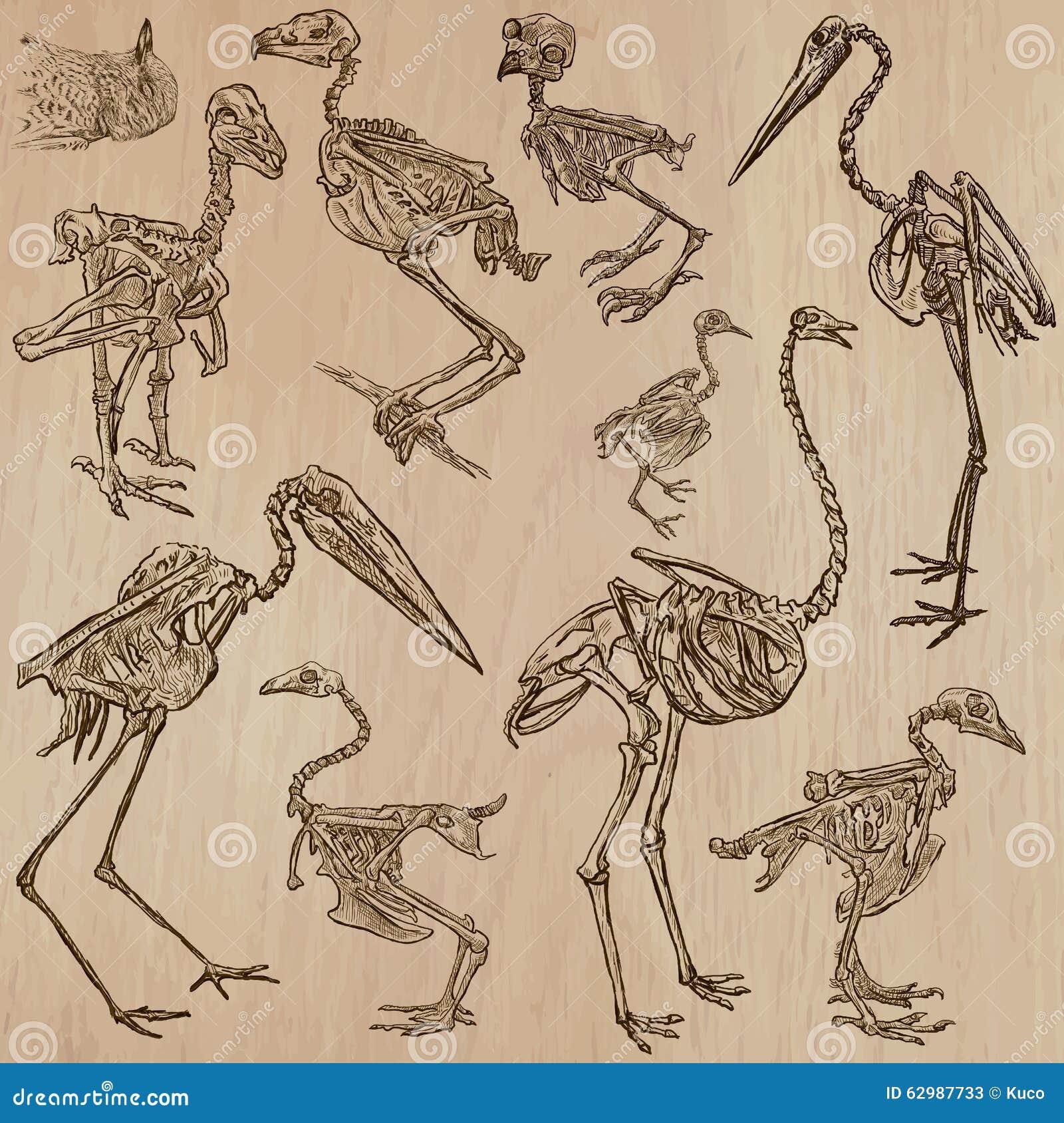 Vogel-Knochen, Skelette - Freehands, Vektor Vektor Abbildung ...