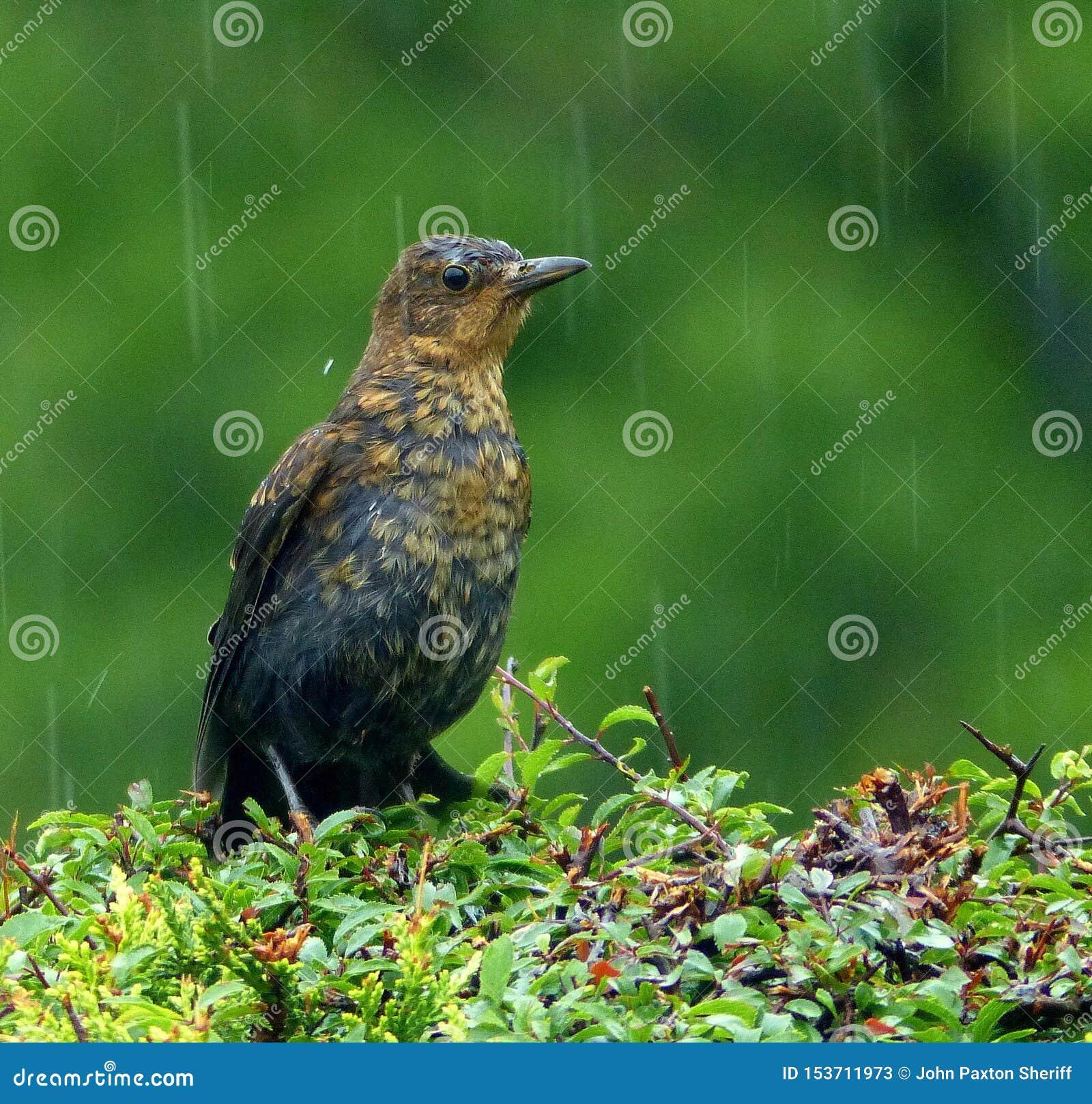 Vogel, naß, niedergeschlagen, im Regen