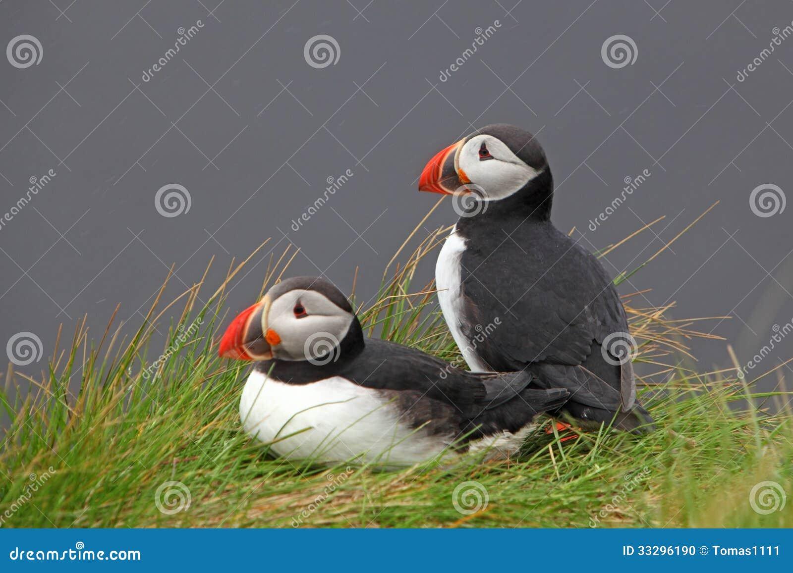 Vogel-Papageientaucher