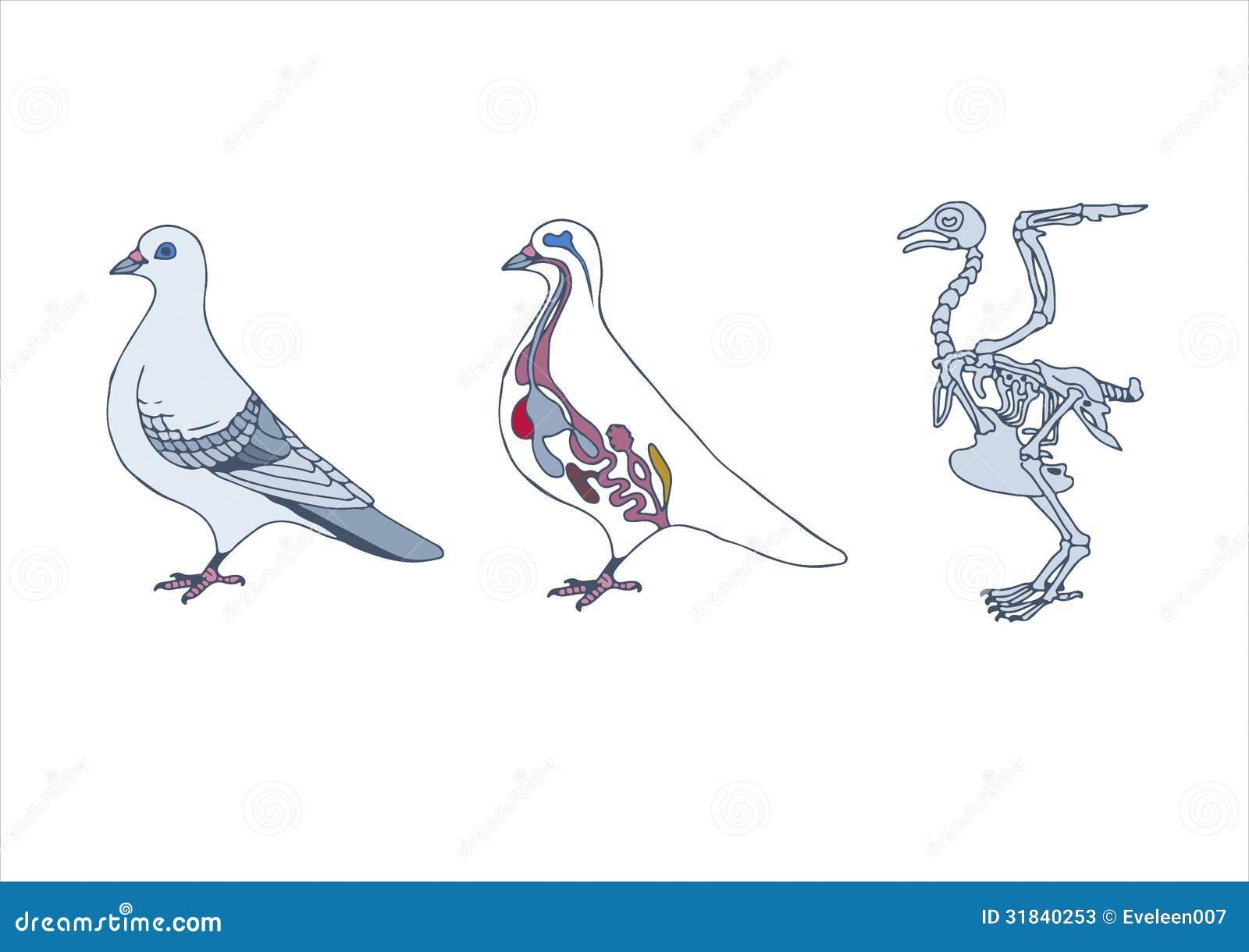Vogel, Querschnitt Und Skelett Vektor Abbildung - Illustration von ...