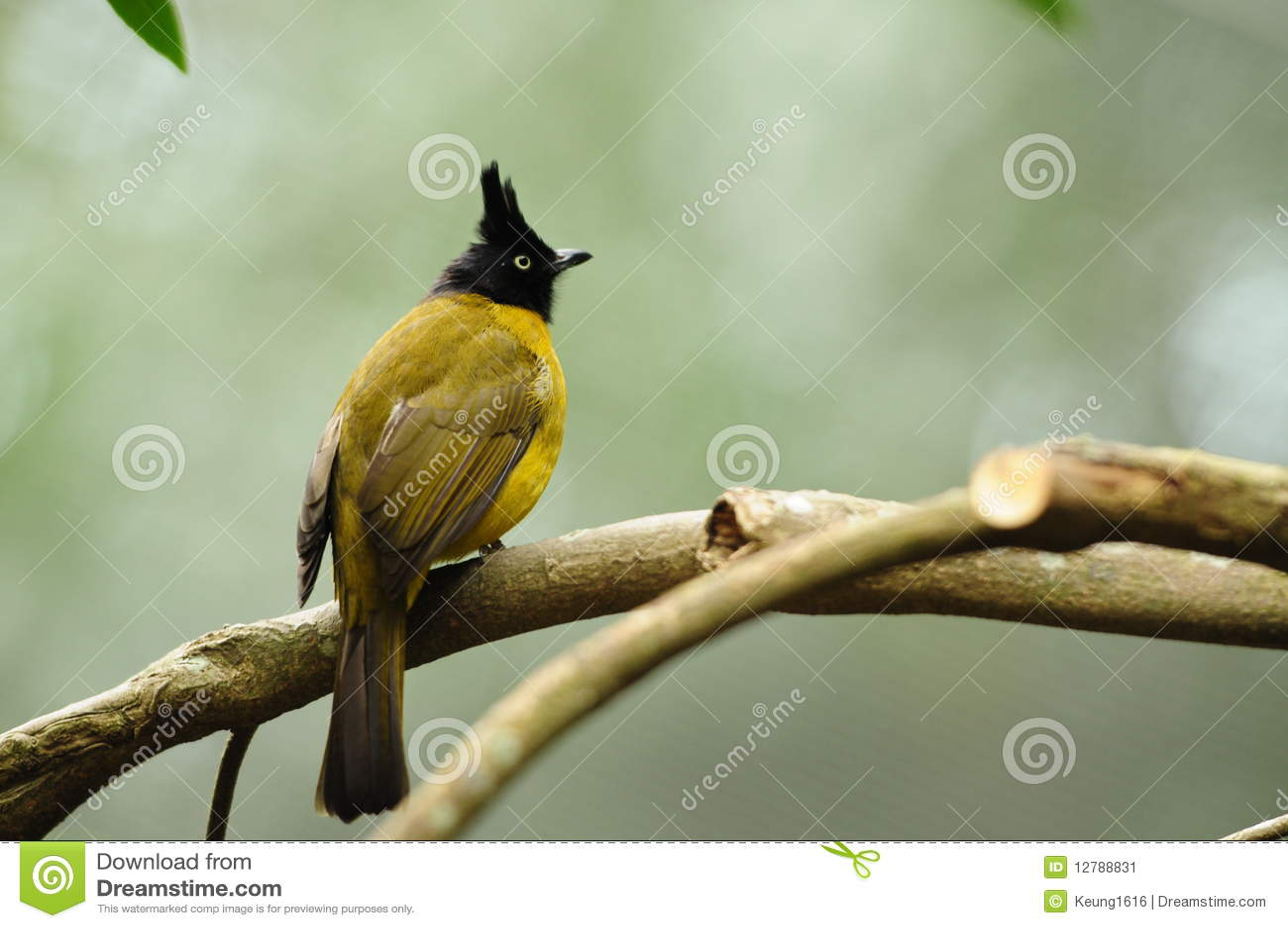 vogel schwarz mit haube gelber bulbul stockbild bild 12788831. Black Bedroom Furniture Sets. Home Design Ideas
