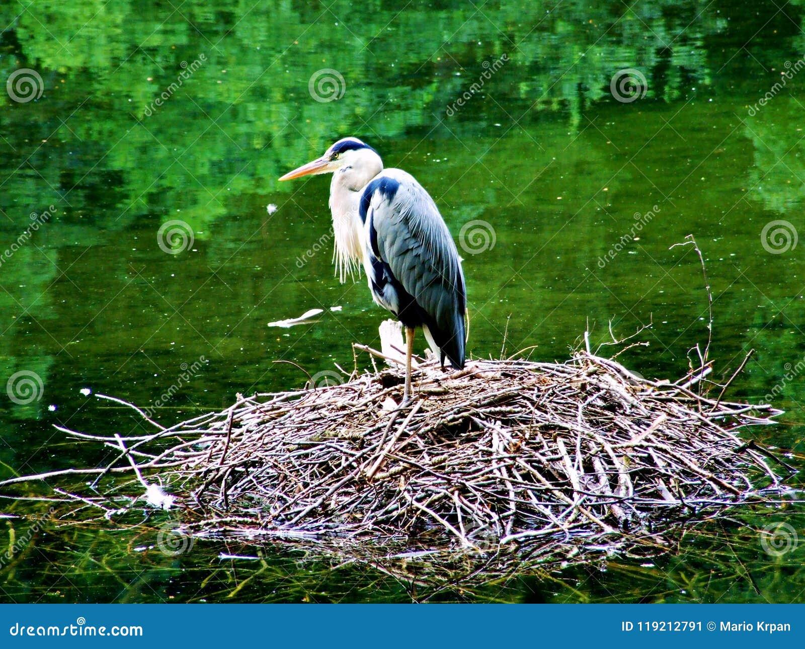Vogel, Storch, Reiher, Natur, Tier, Weiß, Nest, Vögel, wild lebende Tiere, Wasser, Reiher, Schnabel, wild, Störche, Feder, Grün,