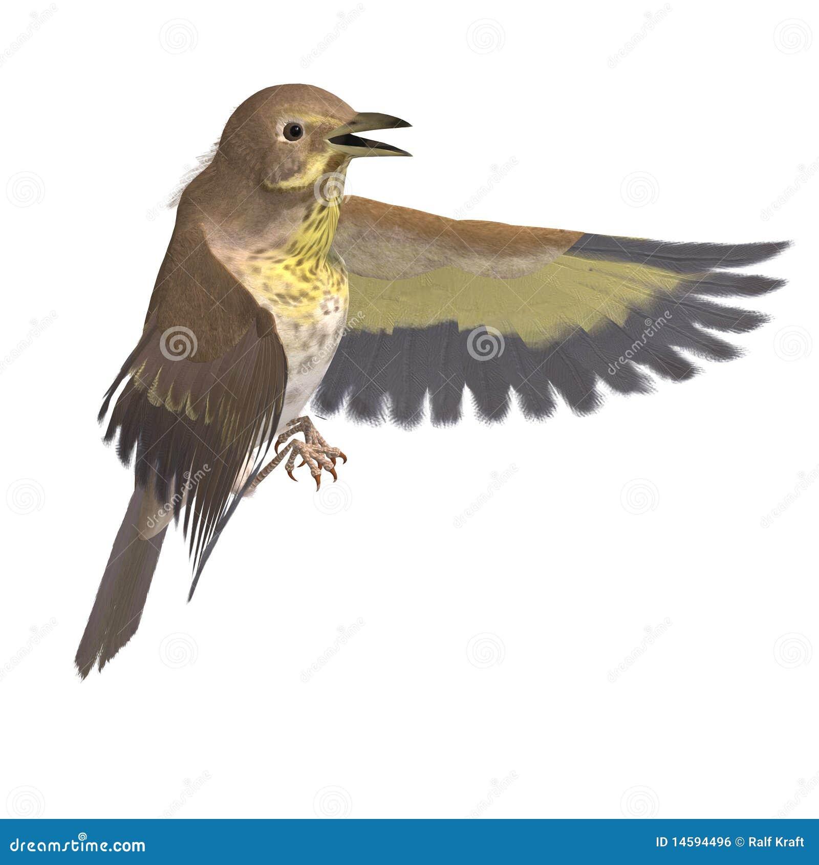 Vogel Swainsons Drossel. Wiedergabe 3D mit