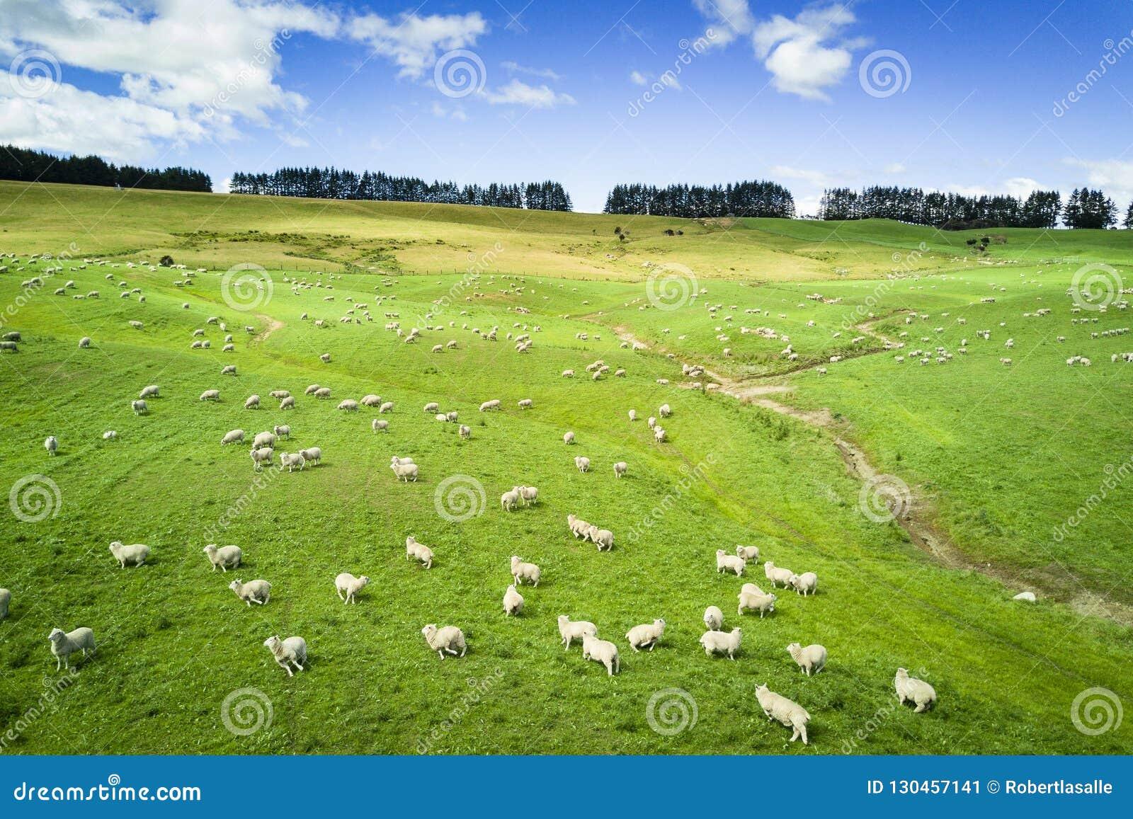 Vogelperspektive des Viehs in Neuseeland-Landschaft auf der Südinsel