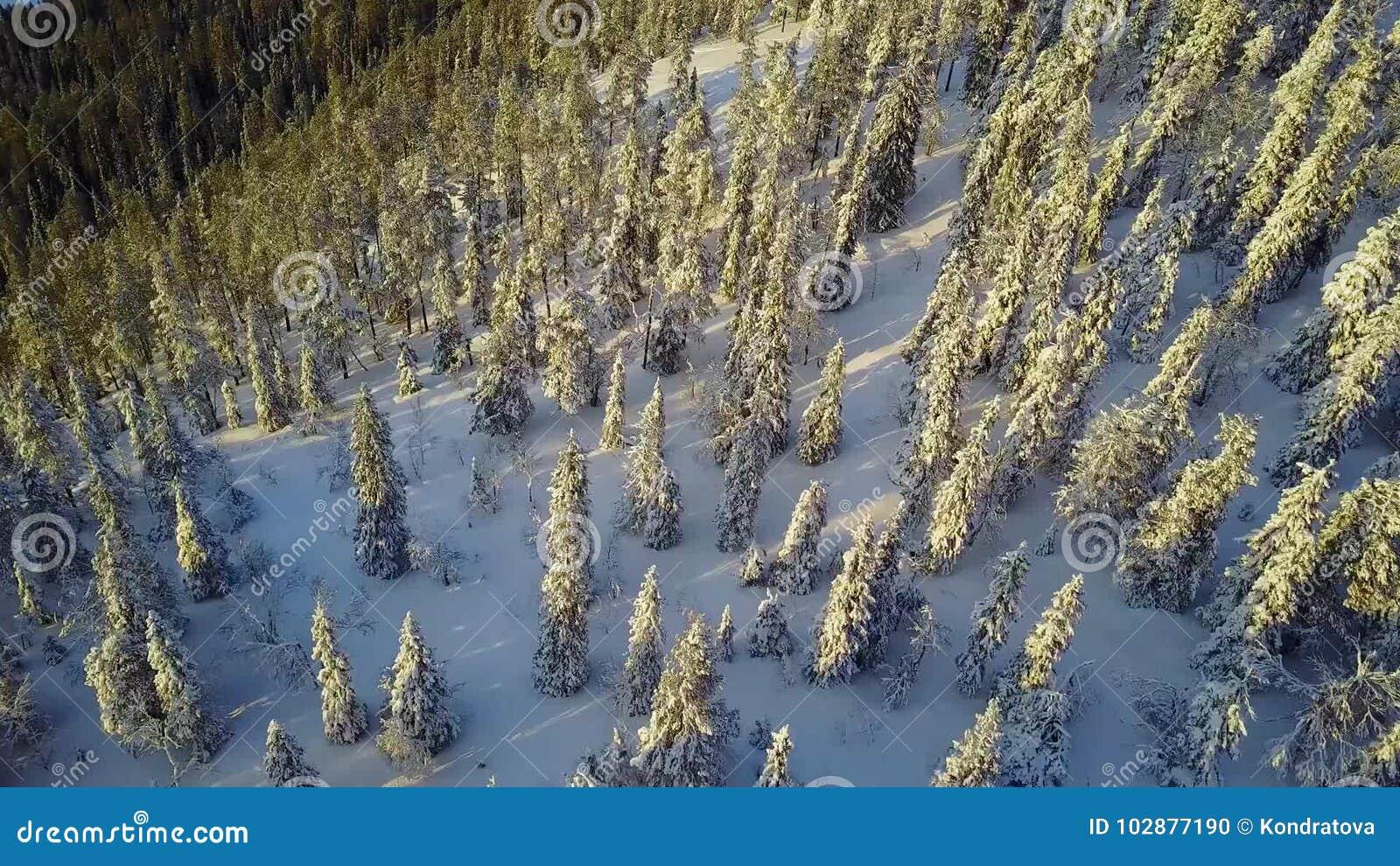 Vogelperspektive einer schönen Lappland-Winterlandschaft Wunderbare Schnee-mit einer Kappe bedeckte Baumnahaufnahme stock video footage