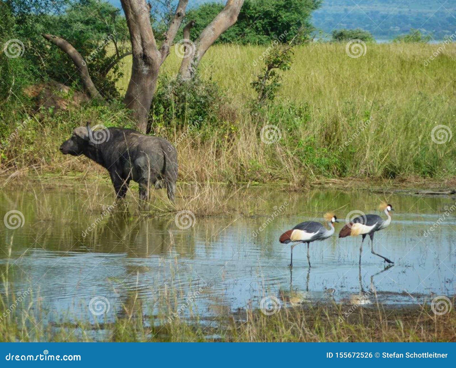 Vogels in een meer met een bizon