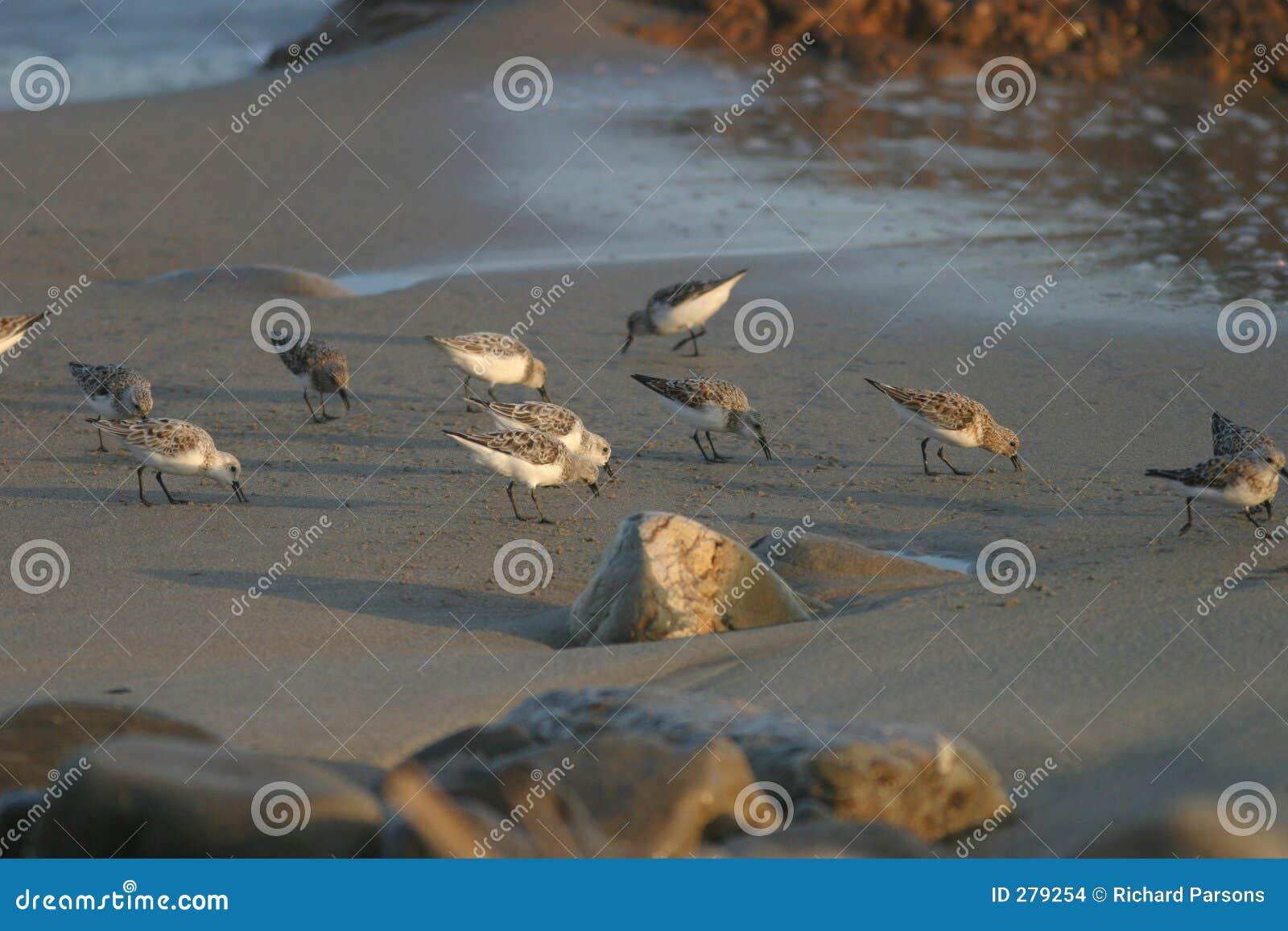 Vogels II van het strand