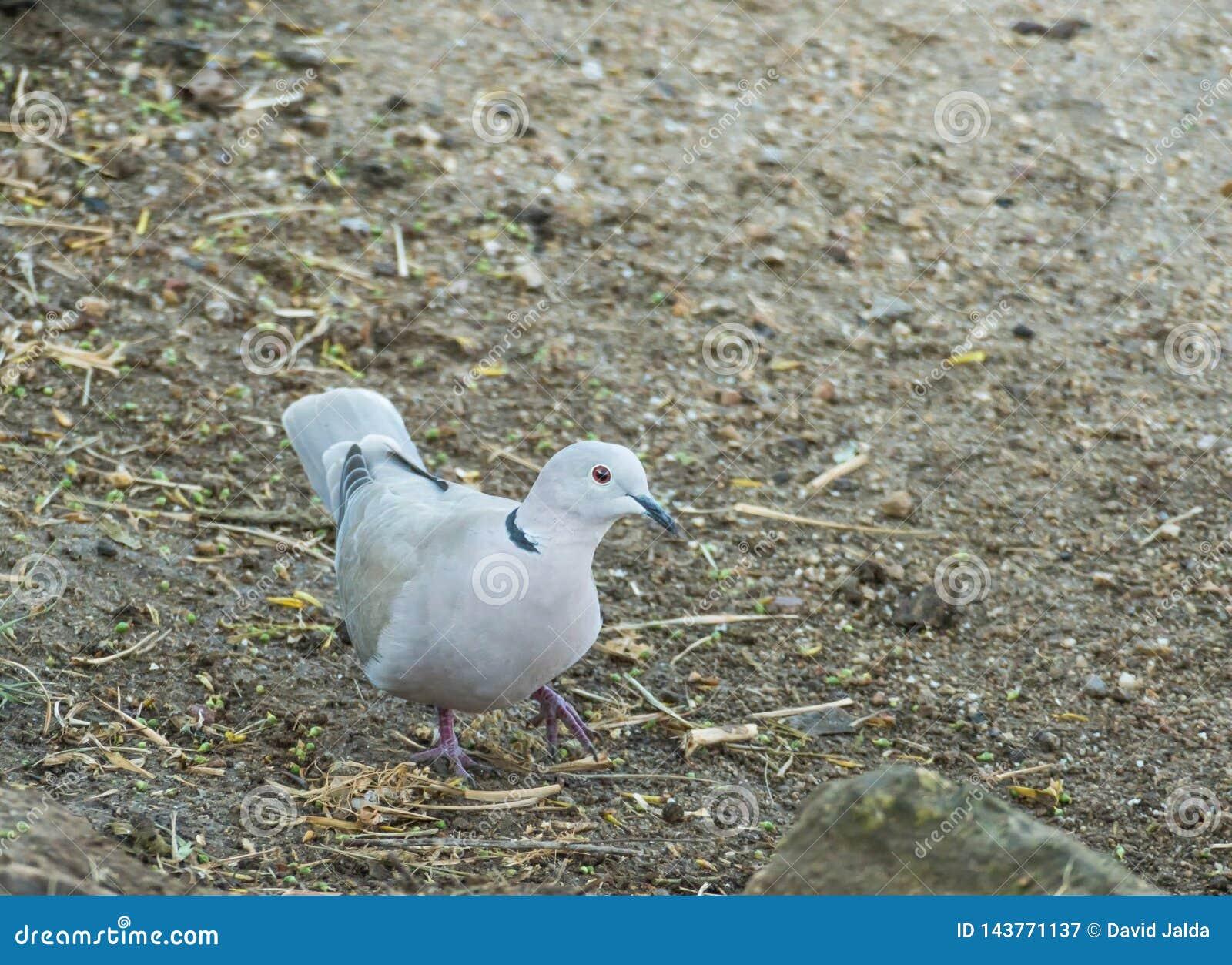 Vogeltürkentaube oder Streptopelia decaocto