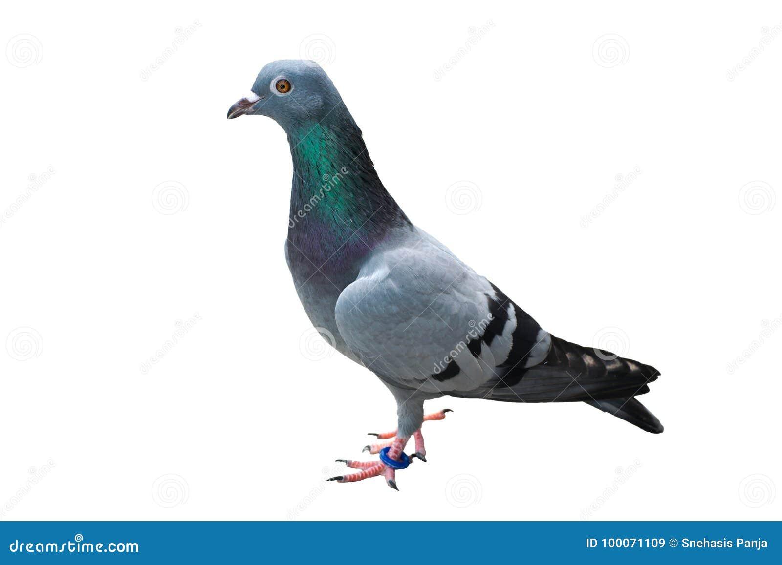 Vogeltaube lokalisiert auf wildem wildem grün-blauem des weißen Hintergrundes