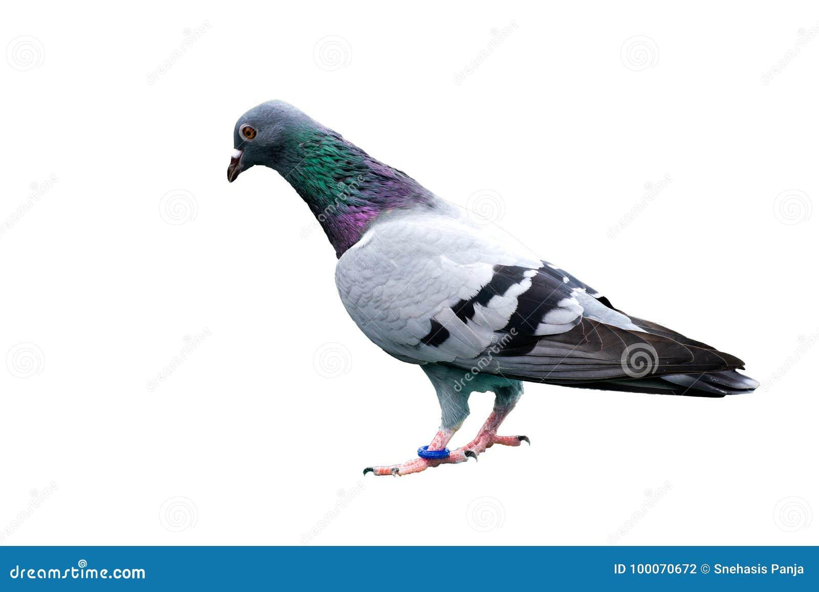 Vogeltaube lokalisiert auf wilder wilder grün-blauer Stange des weißen Hintergrundes