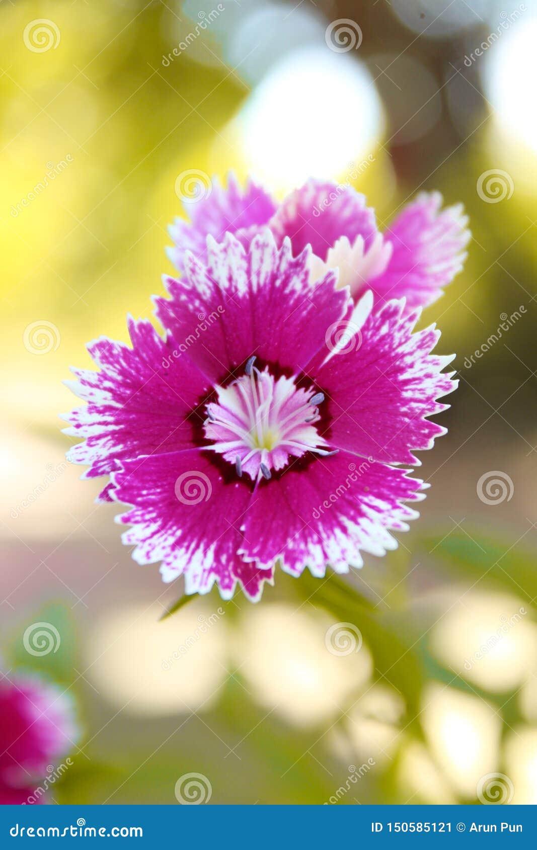 Voilet-Blume