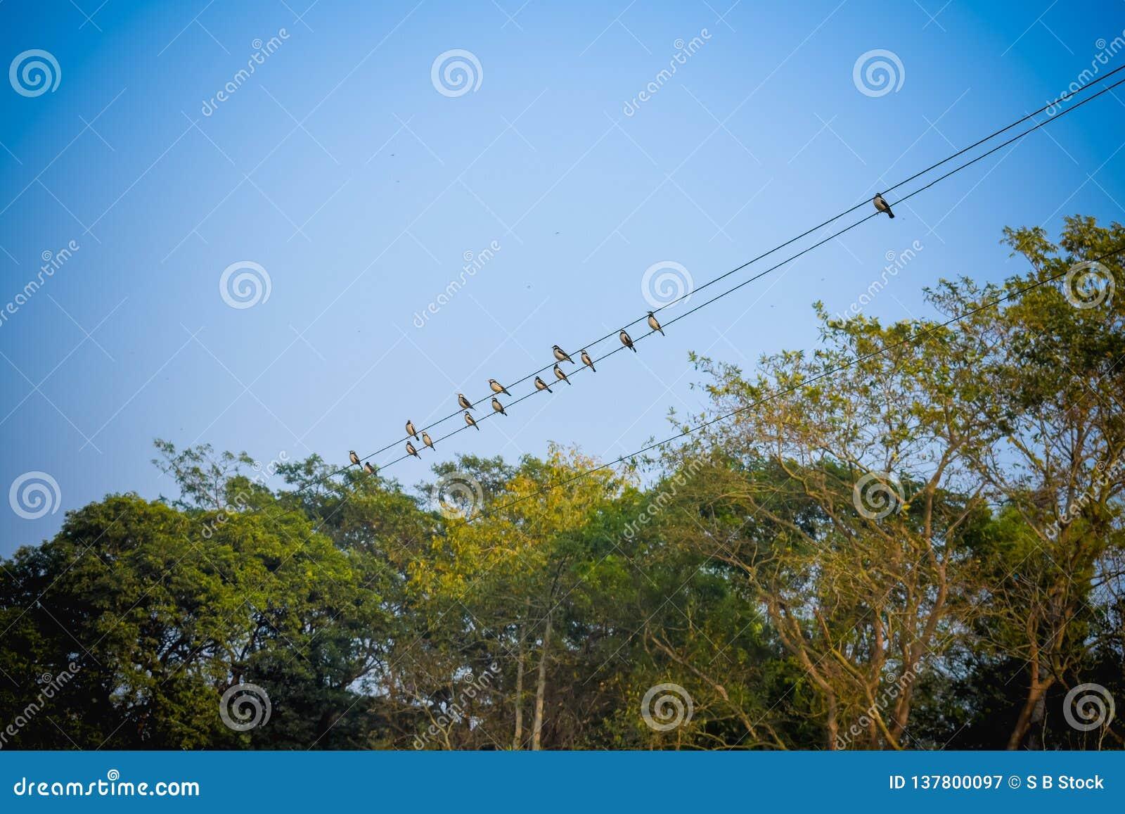 Volée des oiseaux de moineau de migration se reposant sur un fil contre le ciel bleu Paysage rural d été de belle campagne d un r