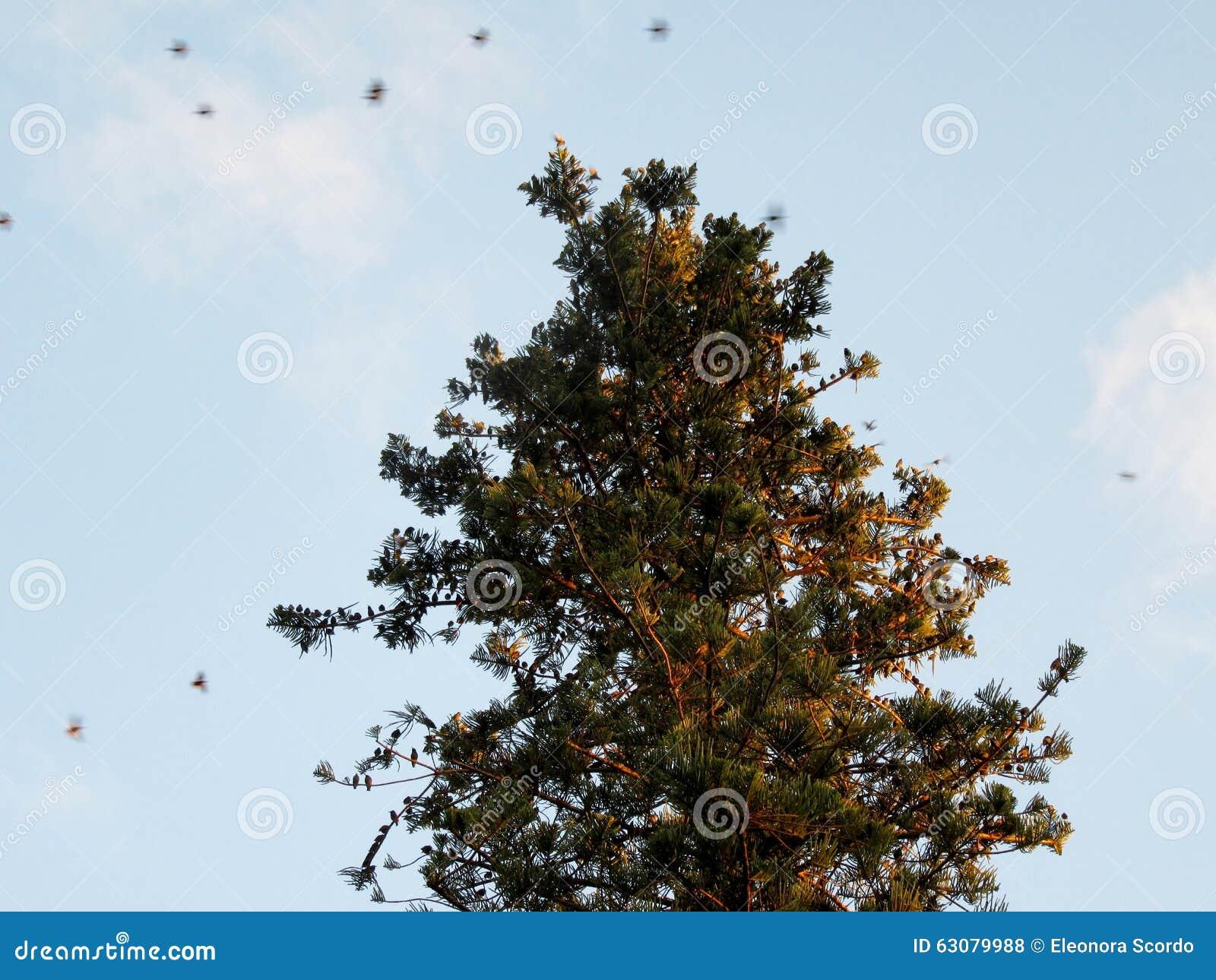Download Volée Des Oiseaux Sur L'araucaria D'arbre Photo stock - Image du ciel, nature: 63079988