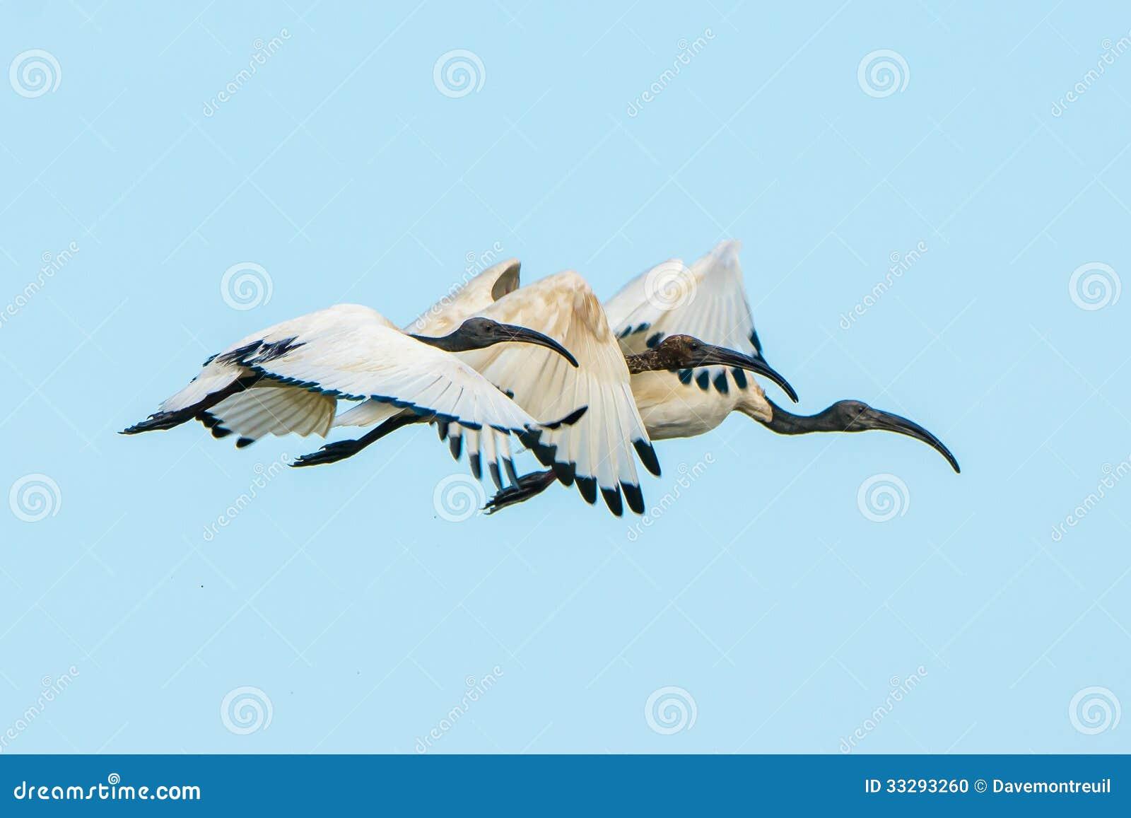 Vol d IBIS sacré dans la synchronisation