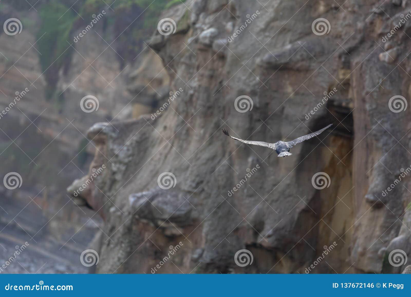 Vol d oiseau de Cormorant le long des falaises au-dessus de la plage de La Jolla de l océan pacifique, San Diego, la Californie